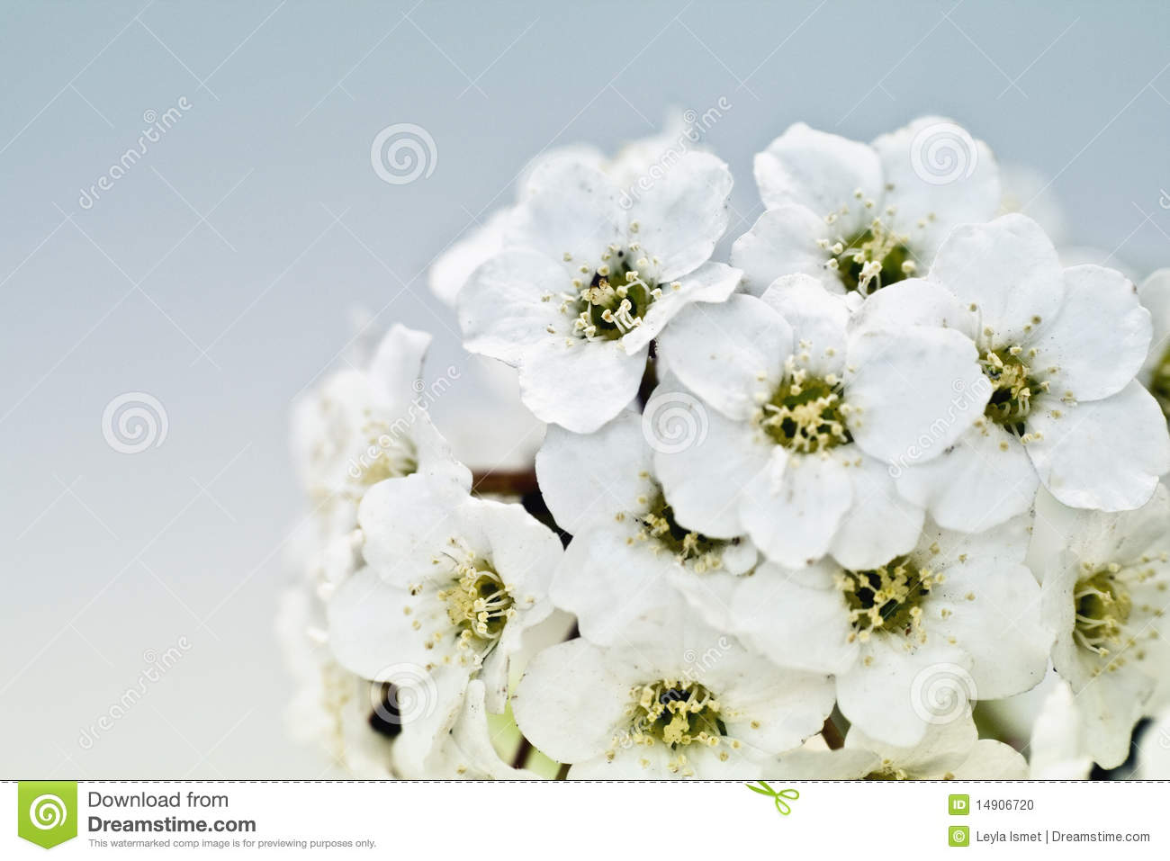 Tiny white flower bouquet macro stock photo image 14906720 bouquet flower macro tiny white dhlflorist Image collections