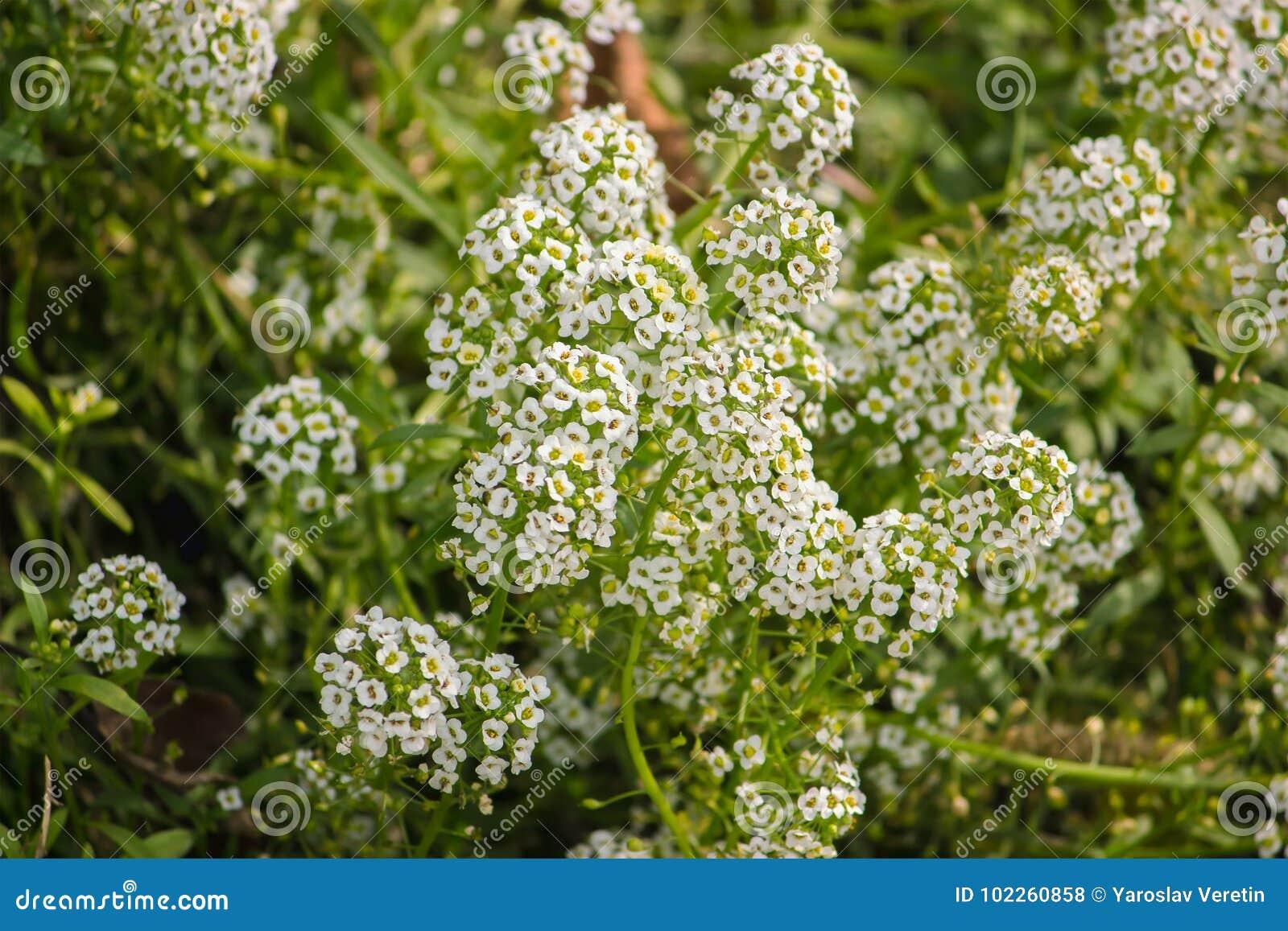 Tiny White Flower Bush In The Garden Stock Photo Image Of Details