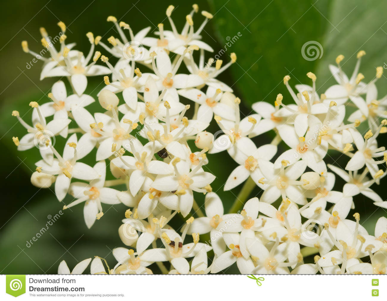 Tiny white flower clusters of roughleaf dogwood stock photo image download tiny white flower clusters of roughleaf dogwood stock photo image of flower cluster mightylinksfo