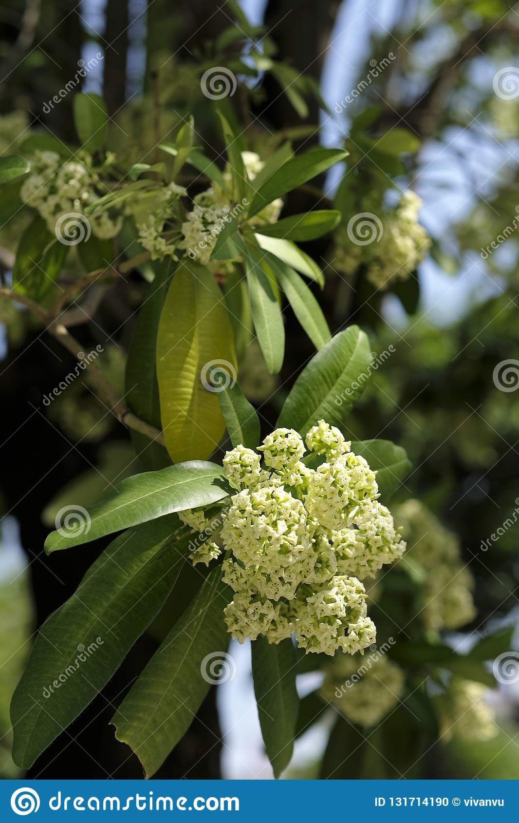 Tiny White Flowers Of Devil Tree Stock Photo Image Of Alstonia