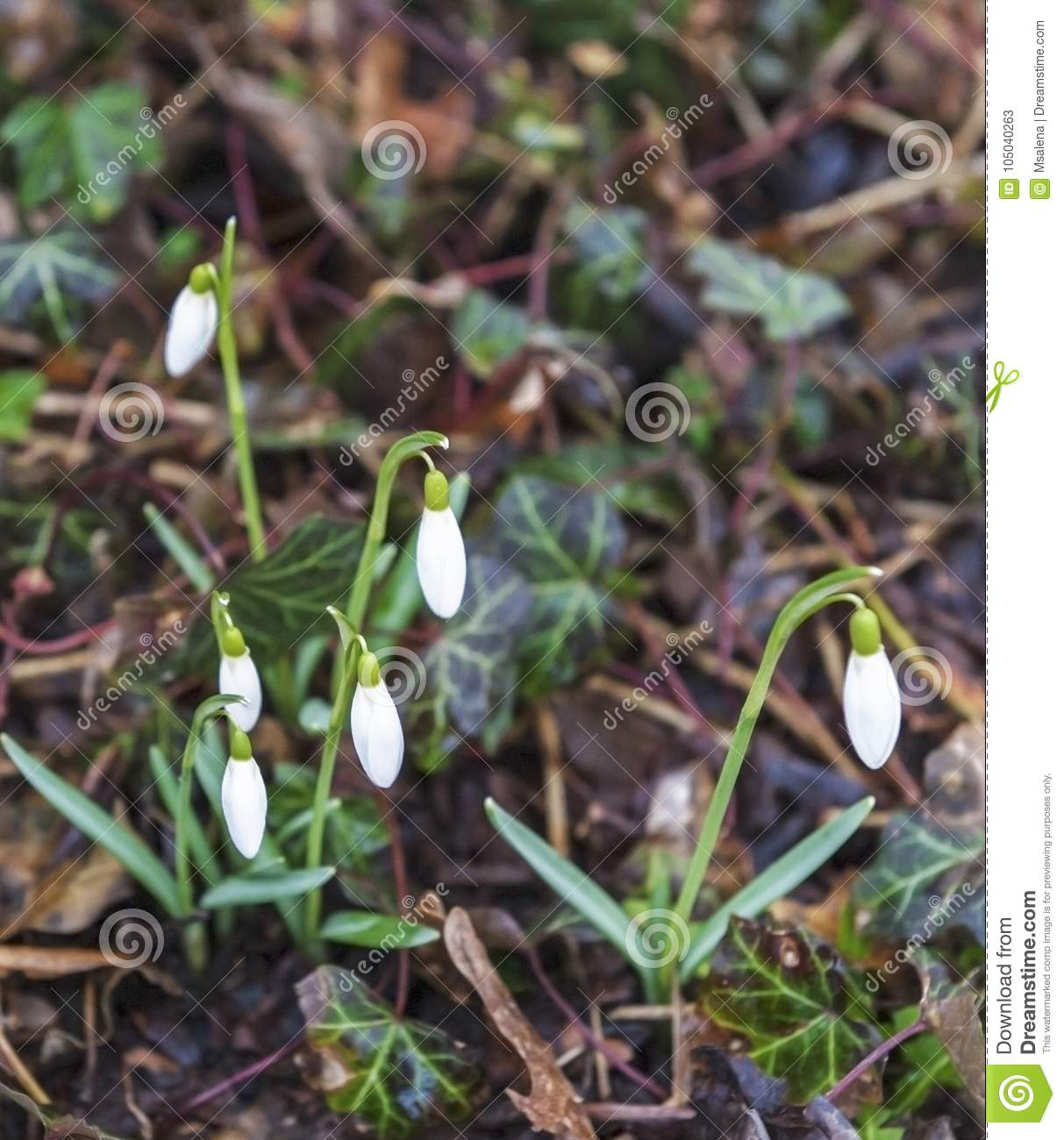 First spring flowers stock image image of tiny white 105040263 download first spring flowers stock image image of tiny white 105040263 mightylinksfo