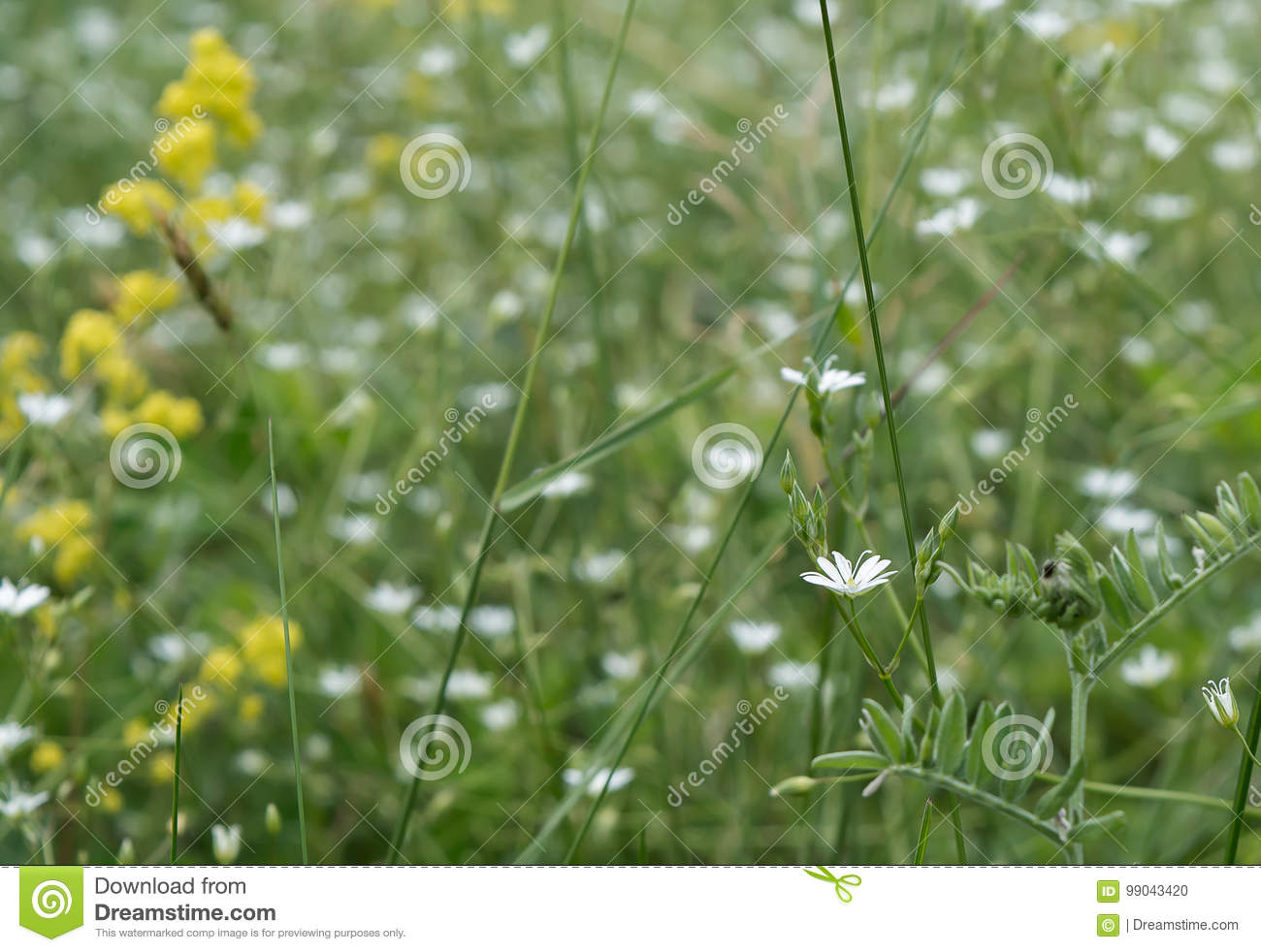 White Flowers Stock Photo Image Of Positive Table Chickweed