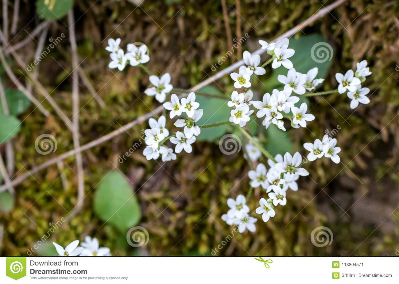 Tiny White Flowers Surrounded With Moss Stock Image Image Of White