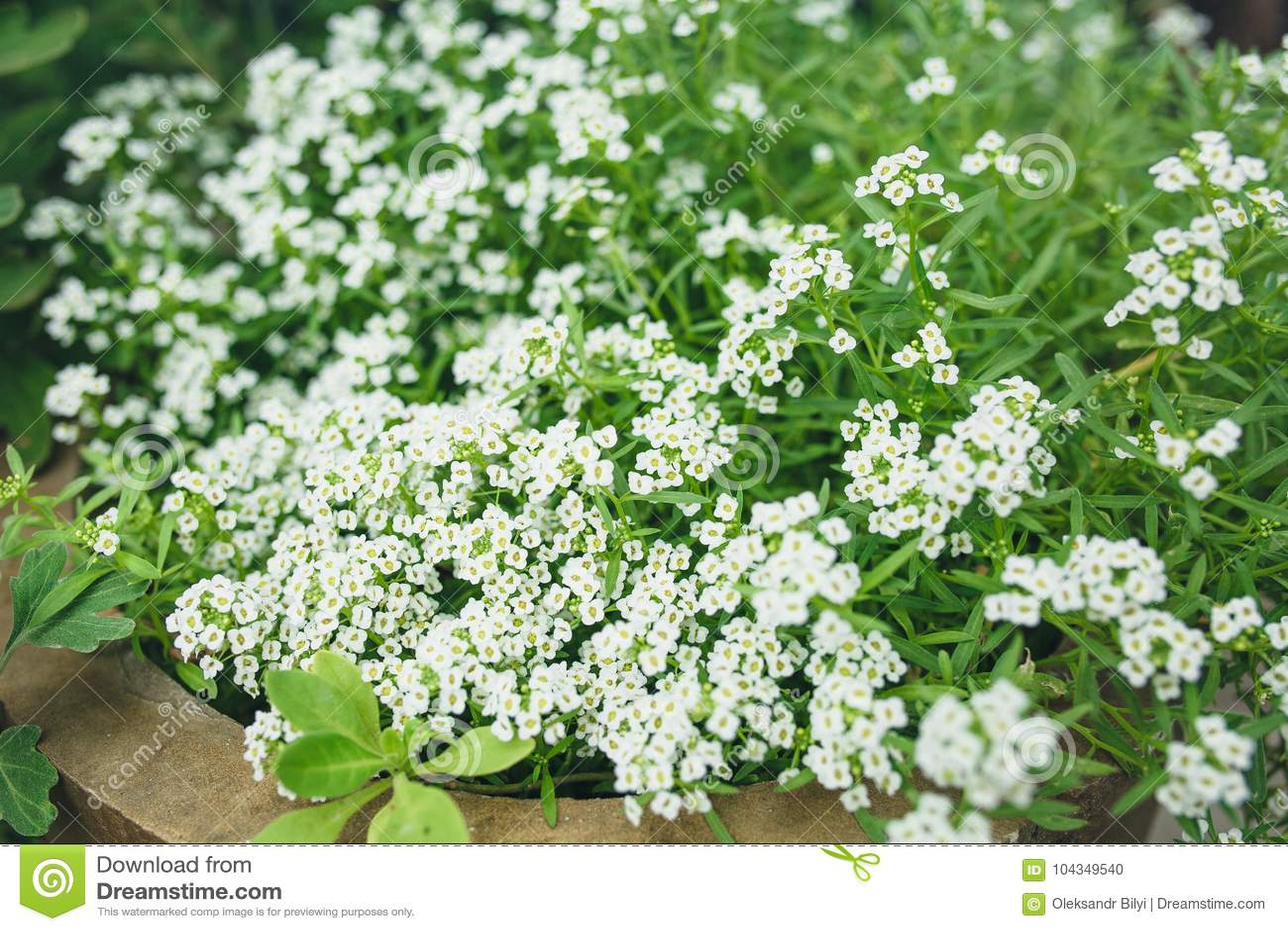 Tiny White Flowers Stock Photo Image Of Edging Green 104349540