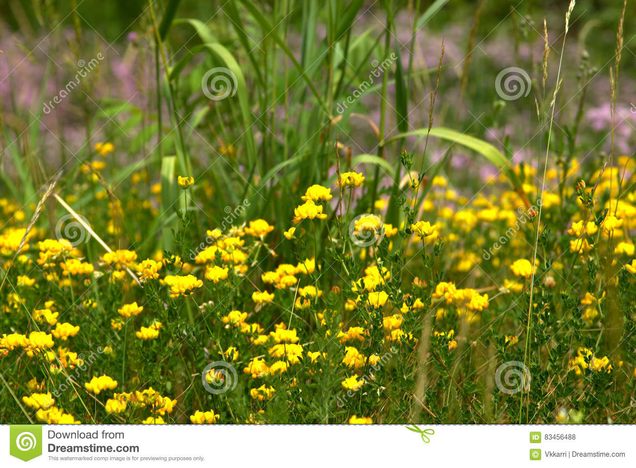 Tiny Yellow Flowers In Field Stock Photo Image Of Spring Little