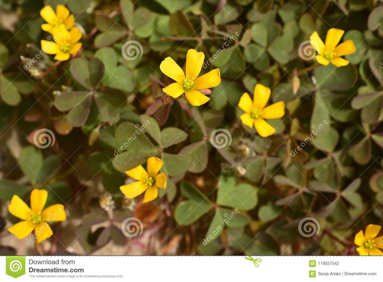 Tiny Yellow Flowers The Leaves Of Clover As In Stock Photo Image