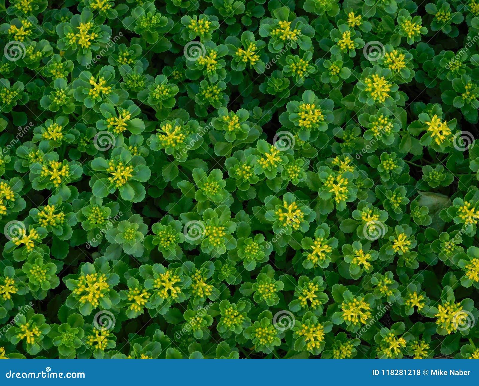 Tiny yellow flowers stock photo image of cluster pretty 118281218 tiny yellow flowers that are very pretty mightylinksfo