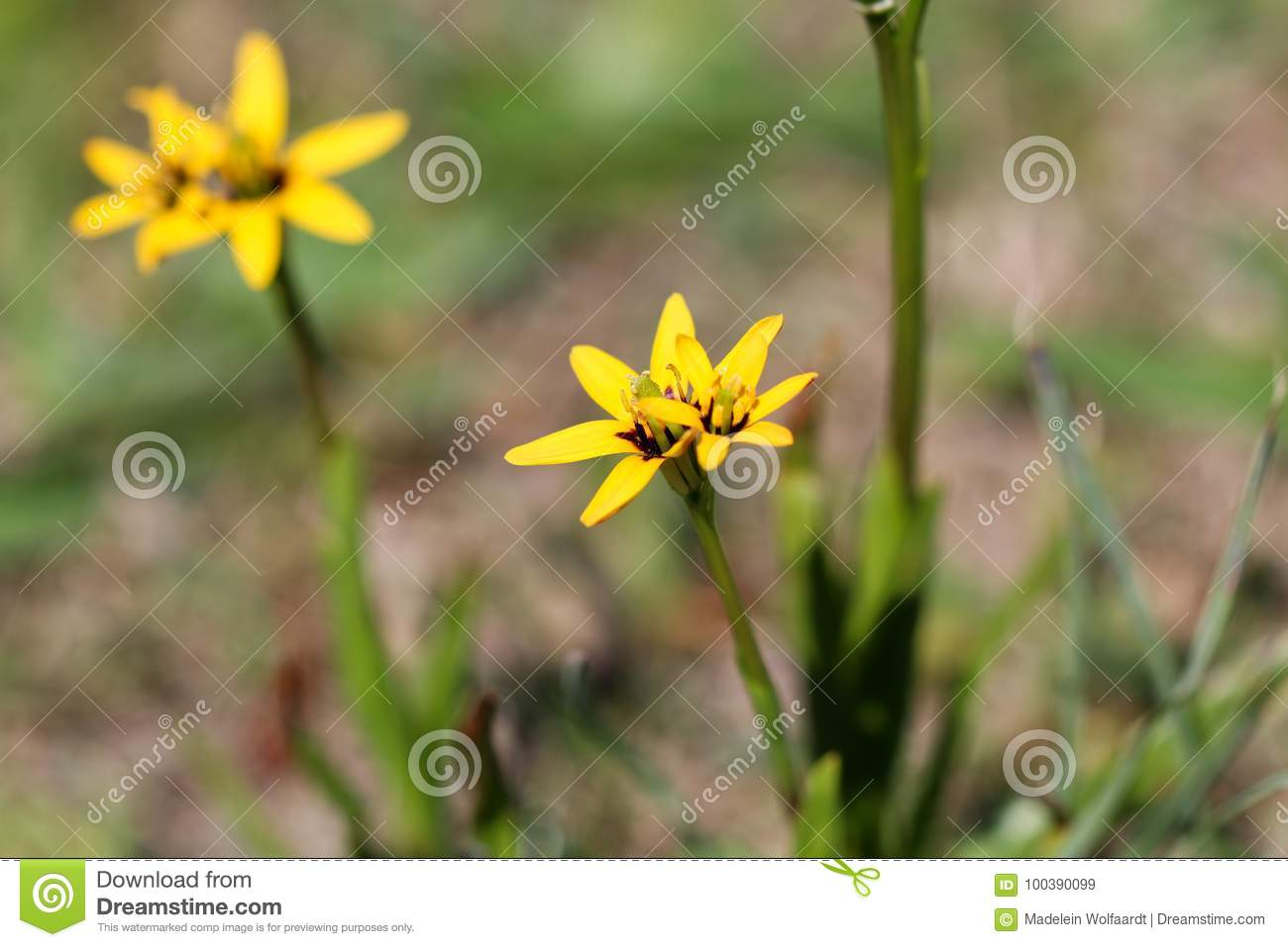 Tiny Yellow Star Shaped Flower Close Up Stock Image Image Of