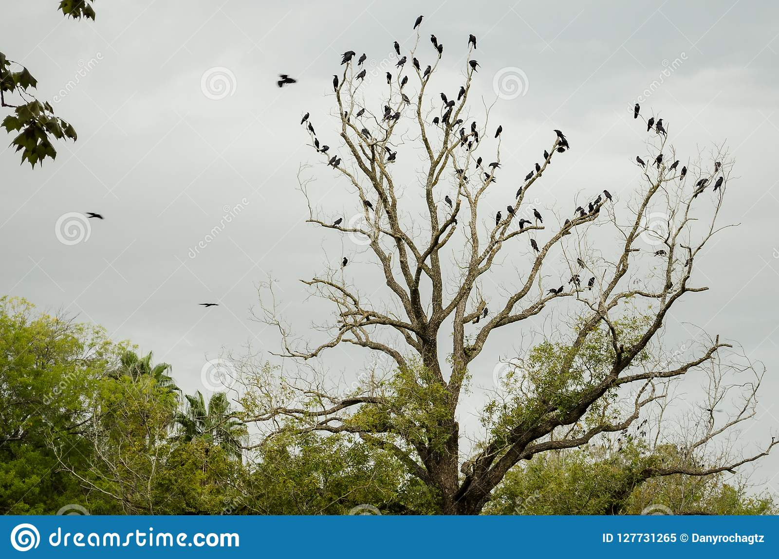 The tip of a leafless tree full of black crows.