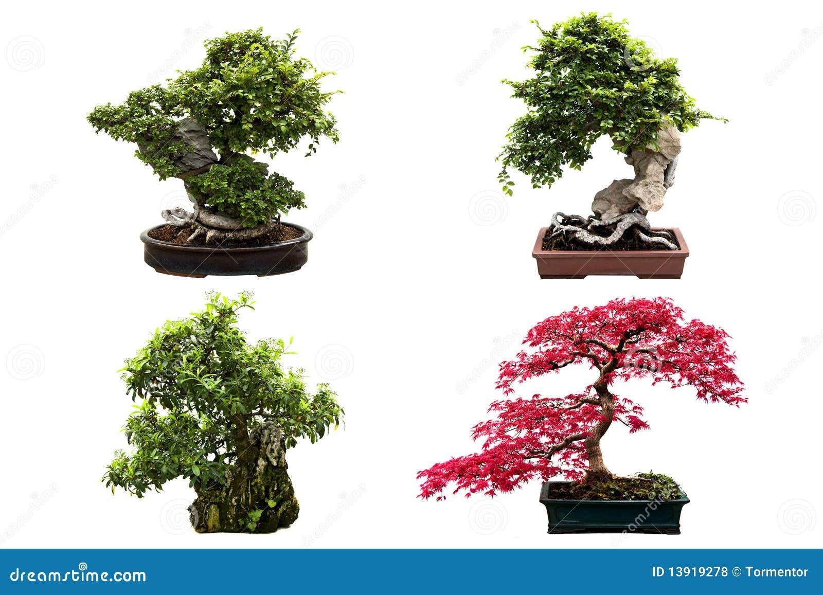 Tipi di alberi dei bonsai isolati su bianco fotografia for Tipi di bonsai