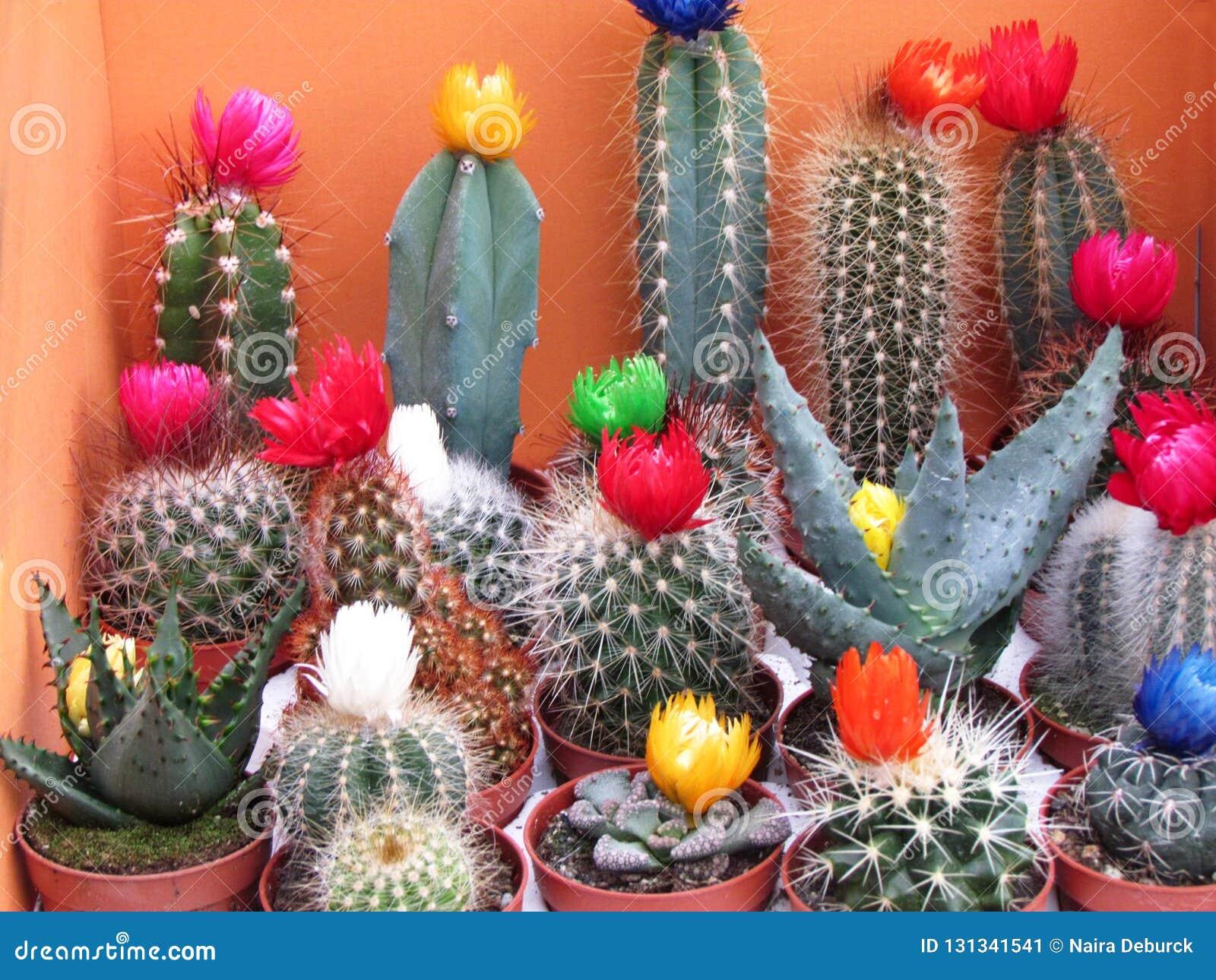 Tipi differenti di cactus con i fiori variopinti
