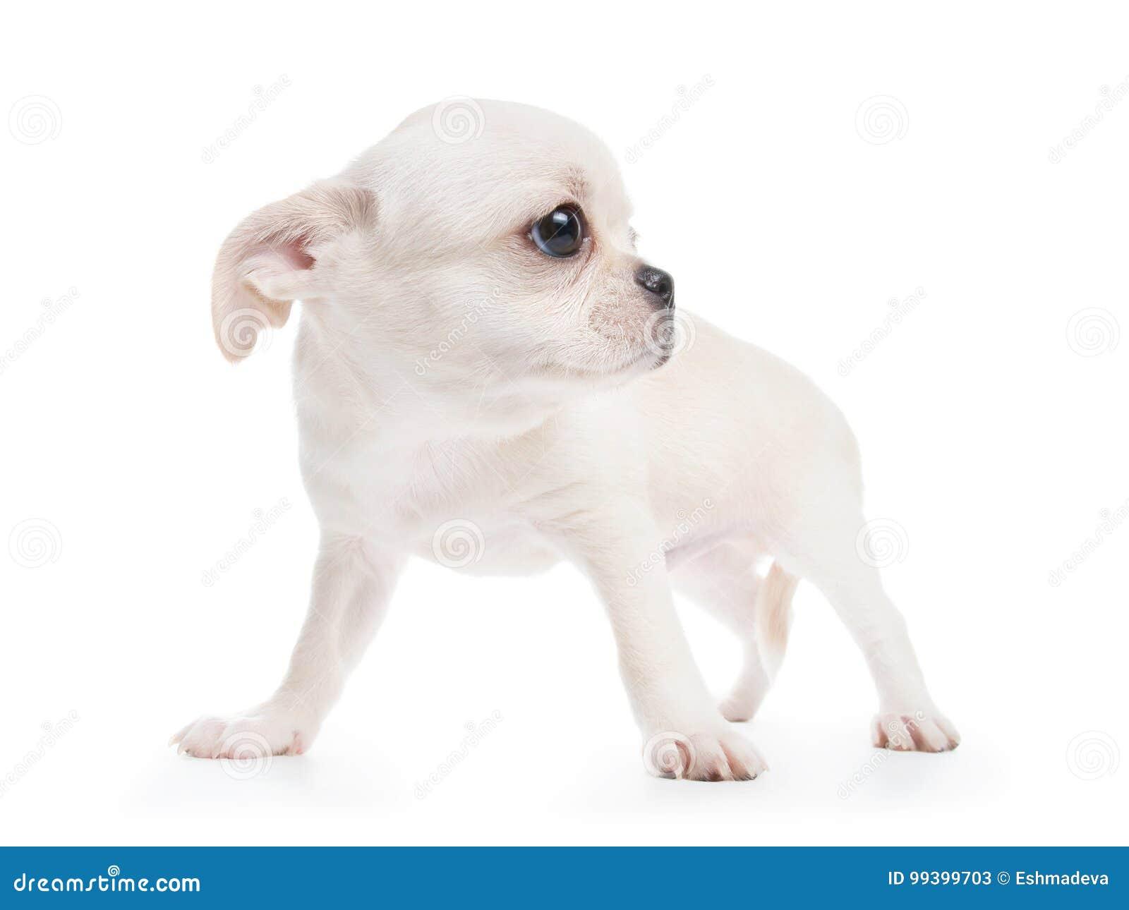 Tipo Cobby Cucciolo Di Razza Bianco Della Chihuahua Immagine Stock
