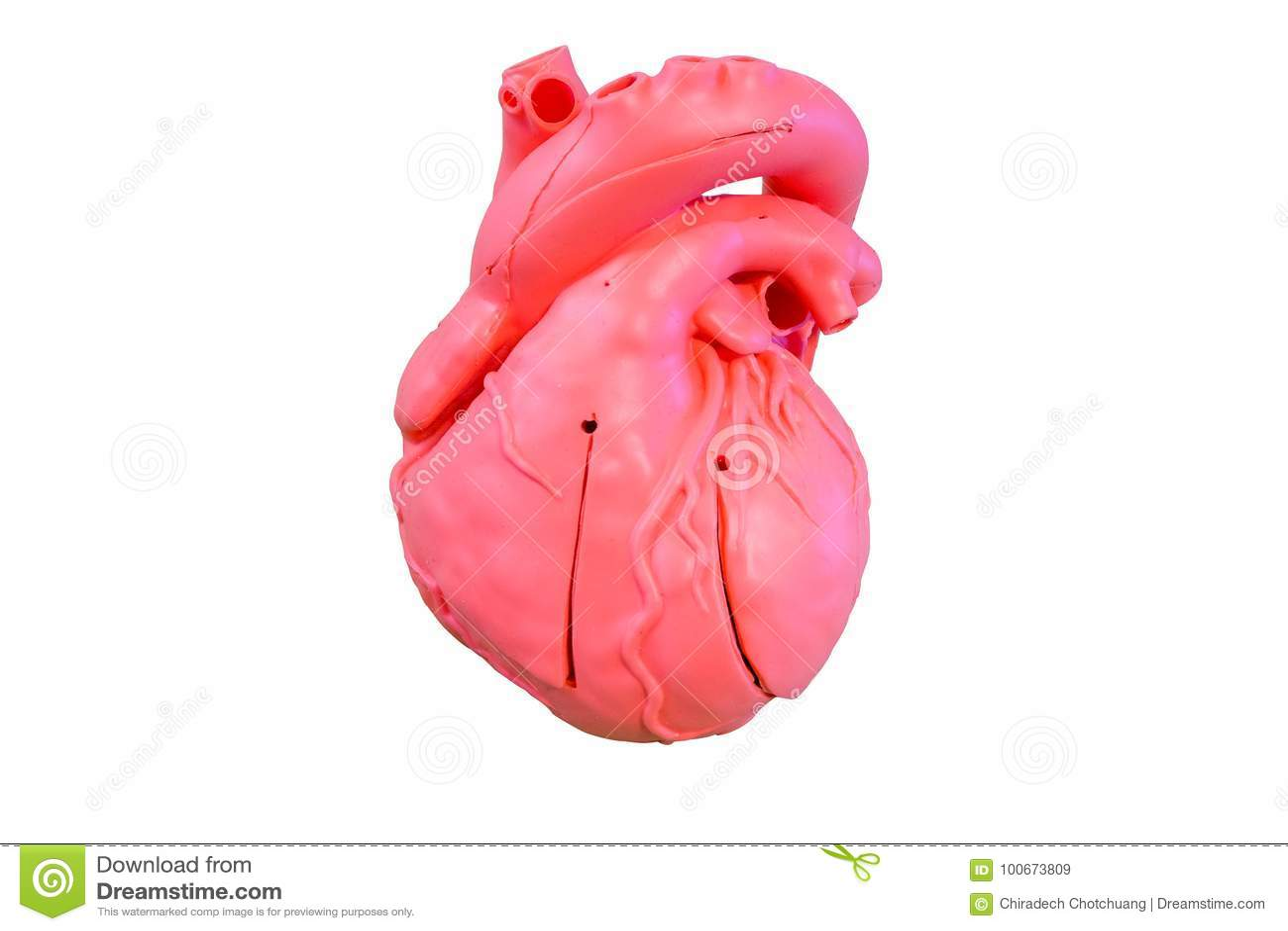 Tipo Modelo Del Silicón De La Anatomía Del Sistema Cardiovascular ...