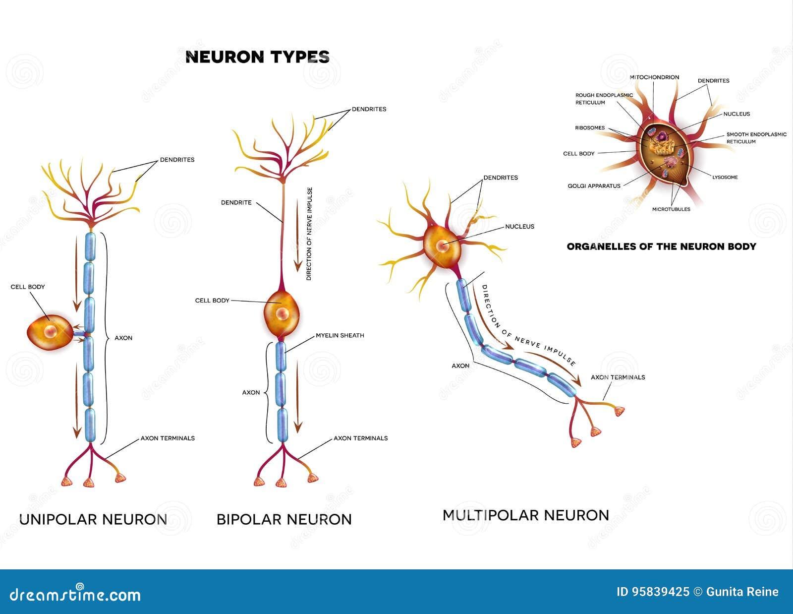 Tipos Y Organelos De La Célula Nerviosa Ilustración del Vector ...