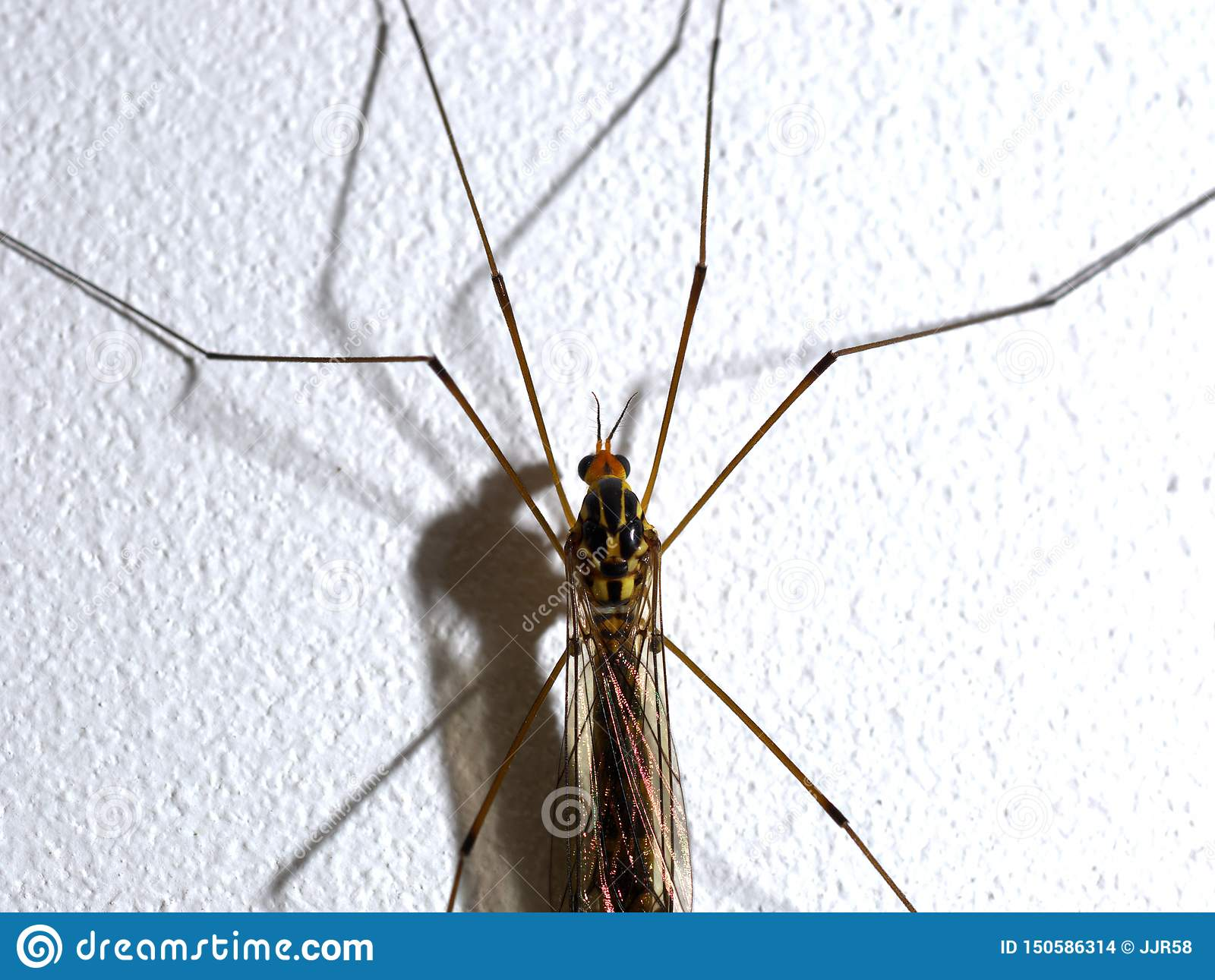 Tipula posed on a white wall.