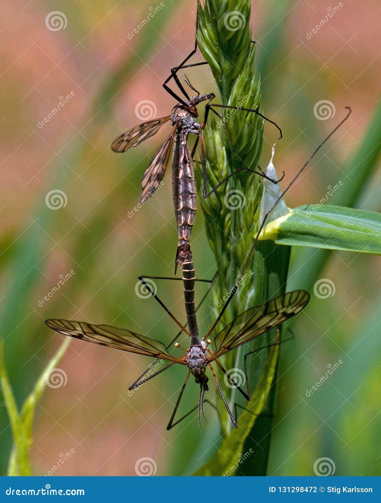 Tipuloidea due che compagni che appendono nella pianta