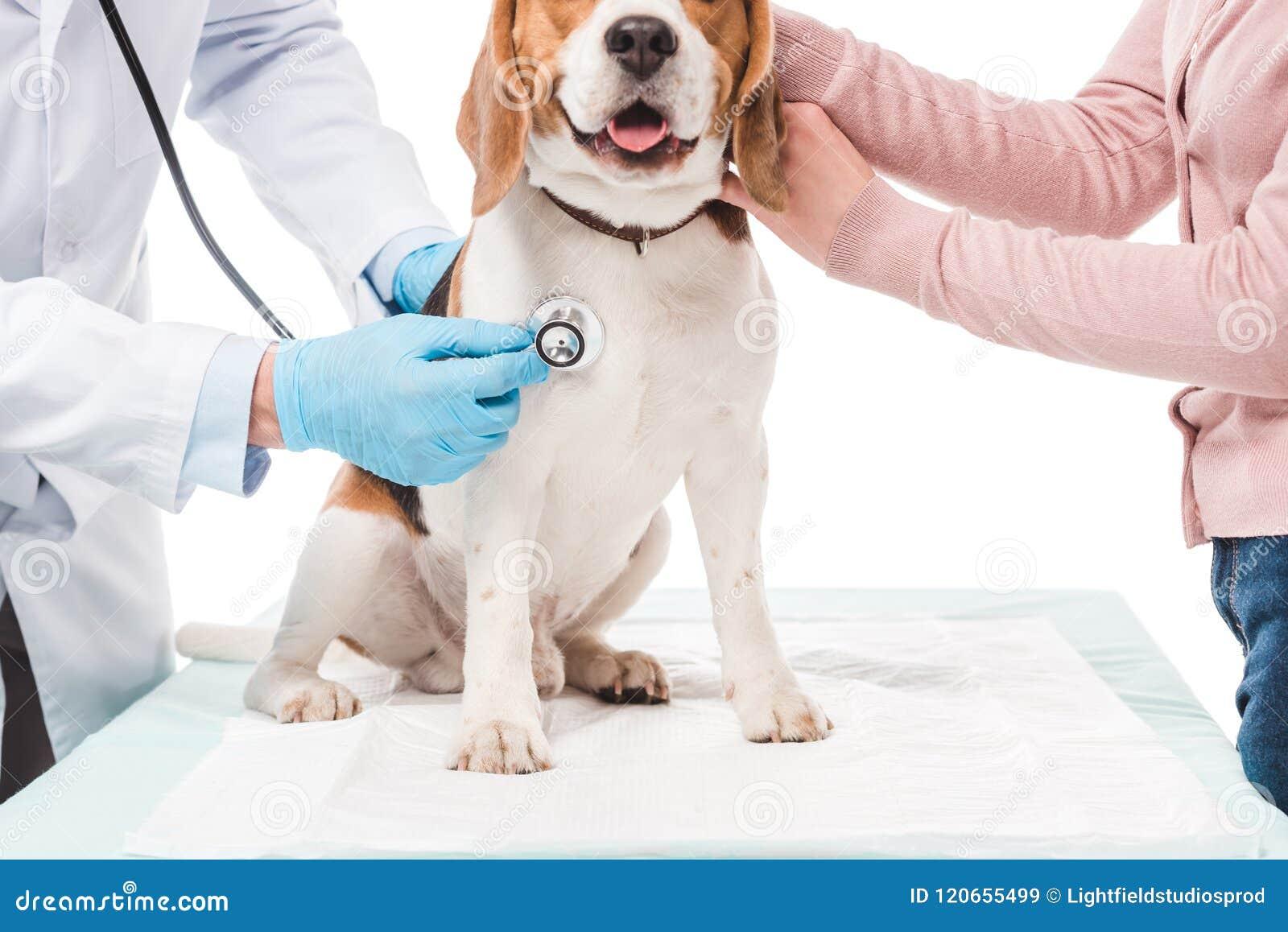 Tir cultivé de femme jugeant le chien et le vétérinaire l examinant par le stéthoscope