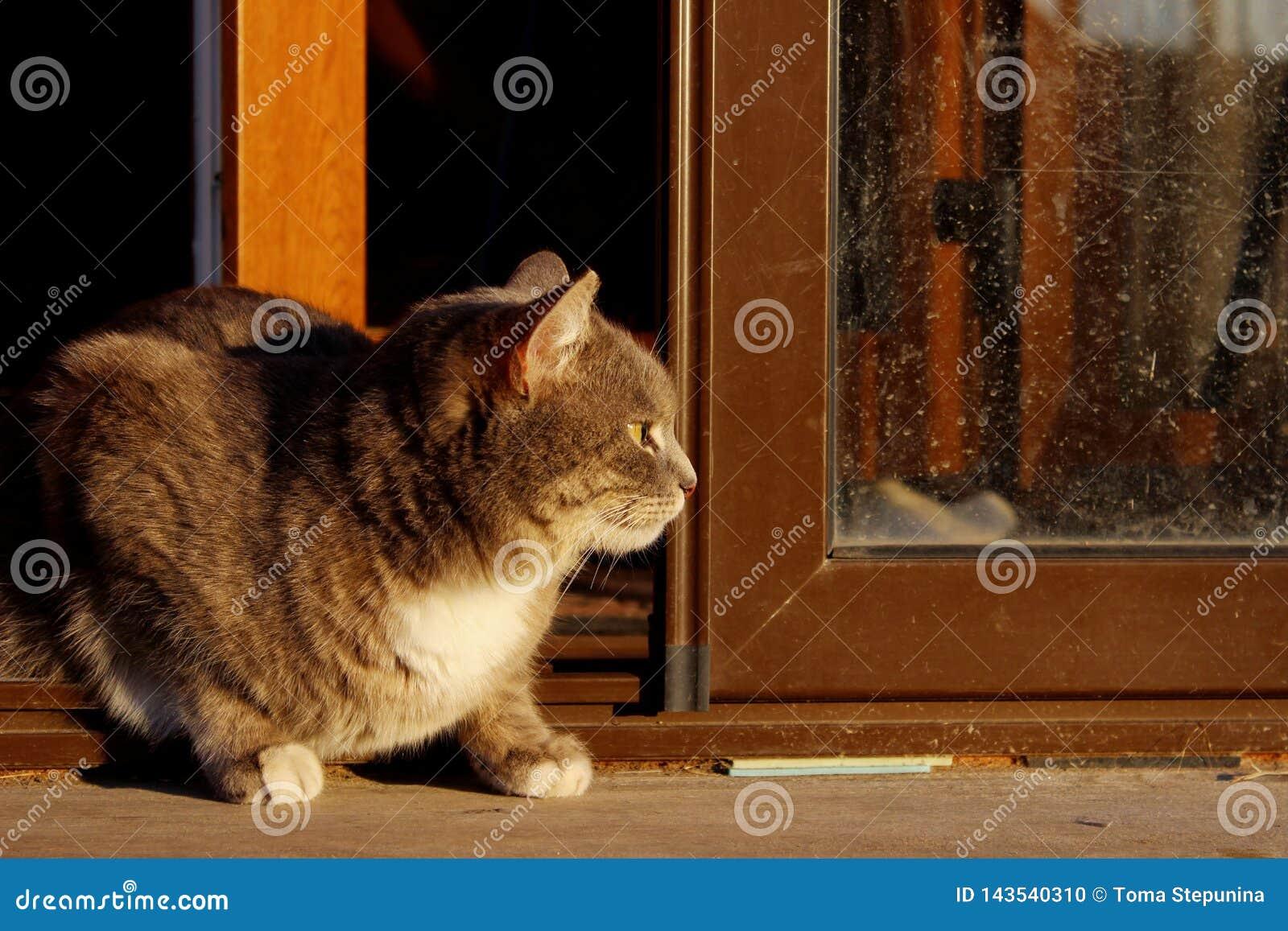 Tir cultiv? de Cat Sitting Over Wooden Background Chat tigr? dehors