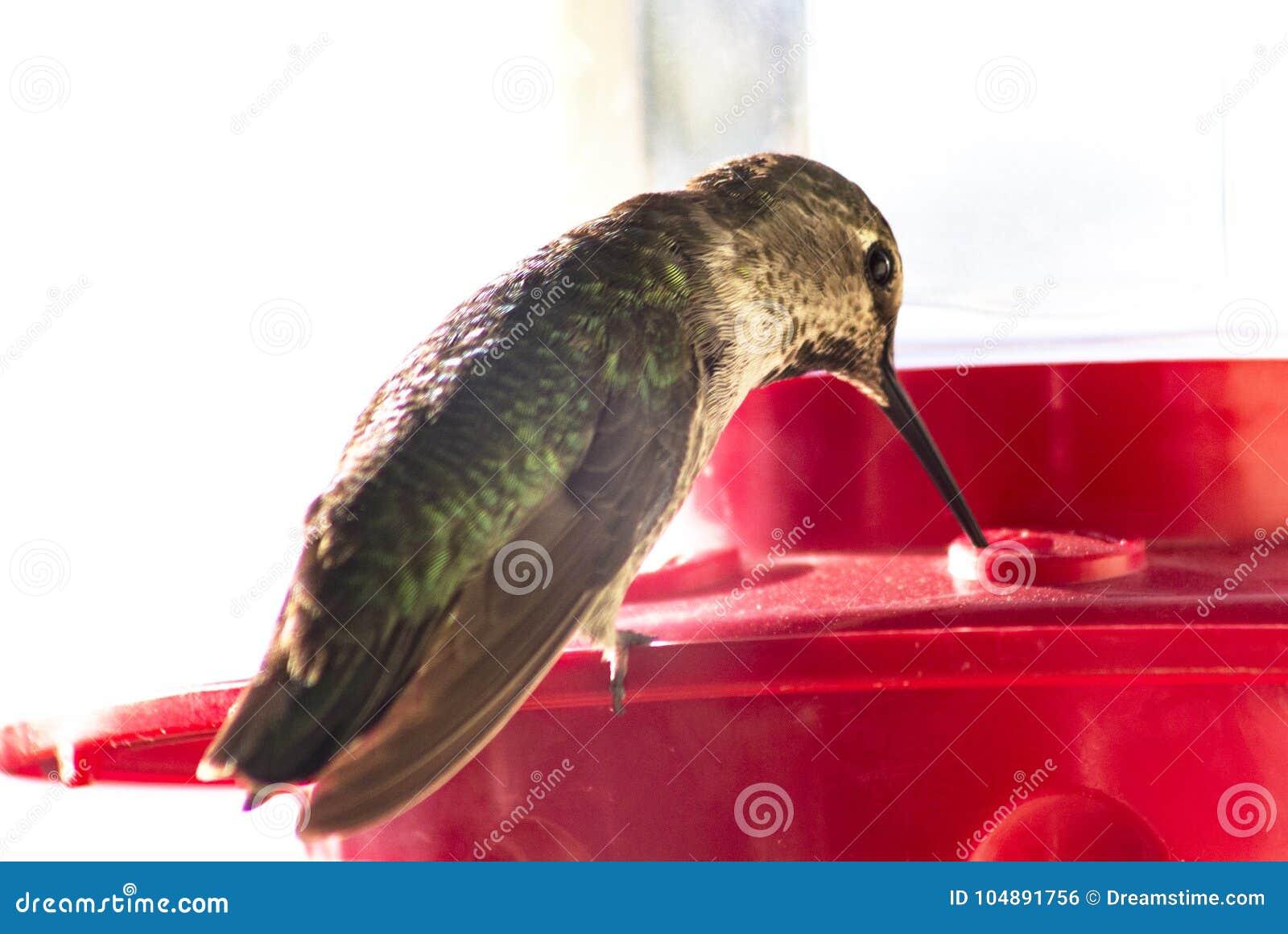 Tir détaillé d une alimentation d oiseau de ronflement