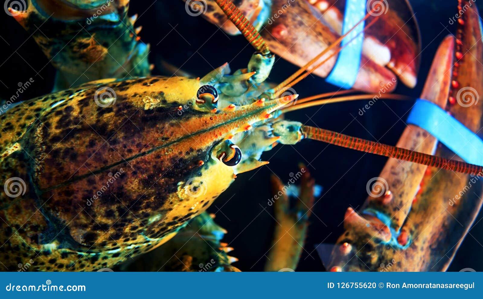 Tir principal d ornatus de Panulirus de langouste dans des aquariums