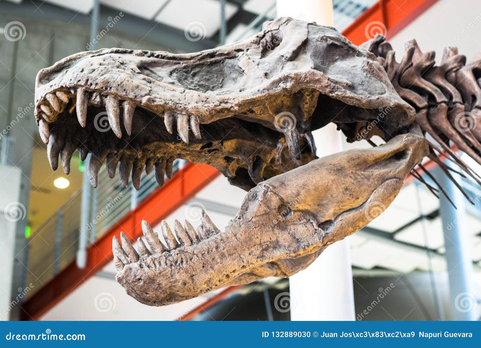 Tiranosaurio Rex Dinosaur Fossil Un cráneo fósil del dinosaurio del rex del tiranosaurio contra un fondo unfocused