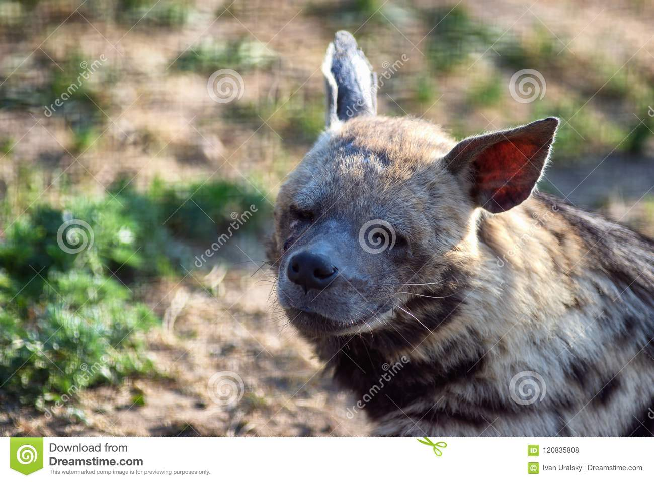 Image of: Safari Tired Hyena Looks Into The Camera Photo Portrait Of Wild Animal Dreamstimecom Tired Hyena Looks Into The Camera Photo Portrait Of Wild Animal
