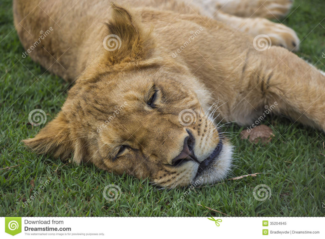 Cute Baby Lion Cubs Sleeping