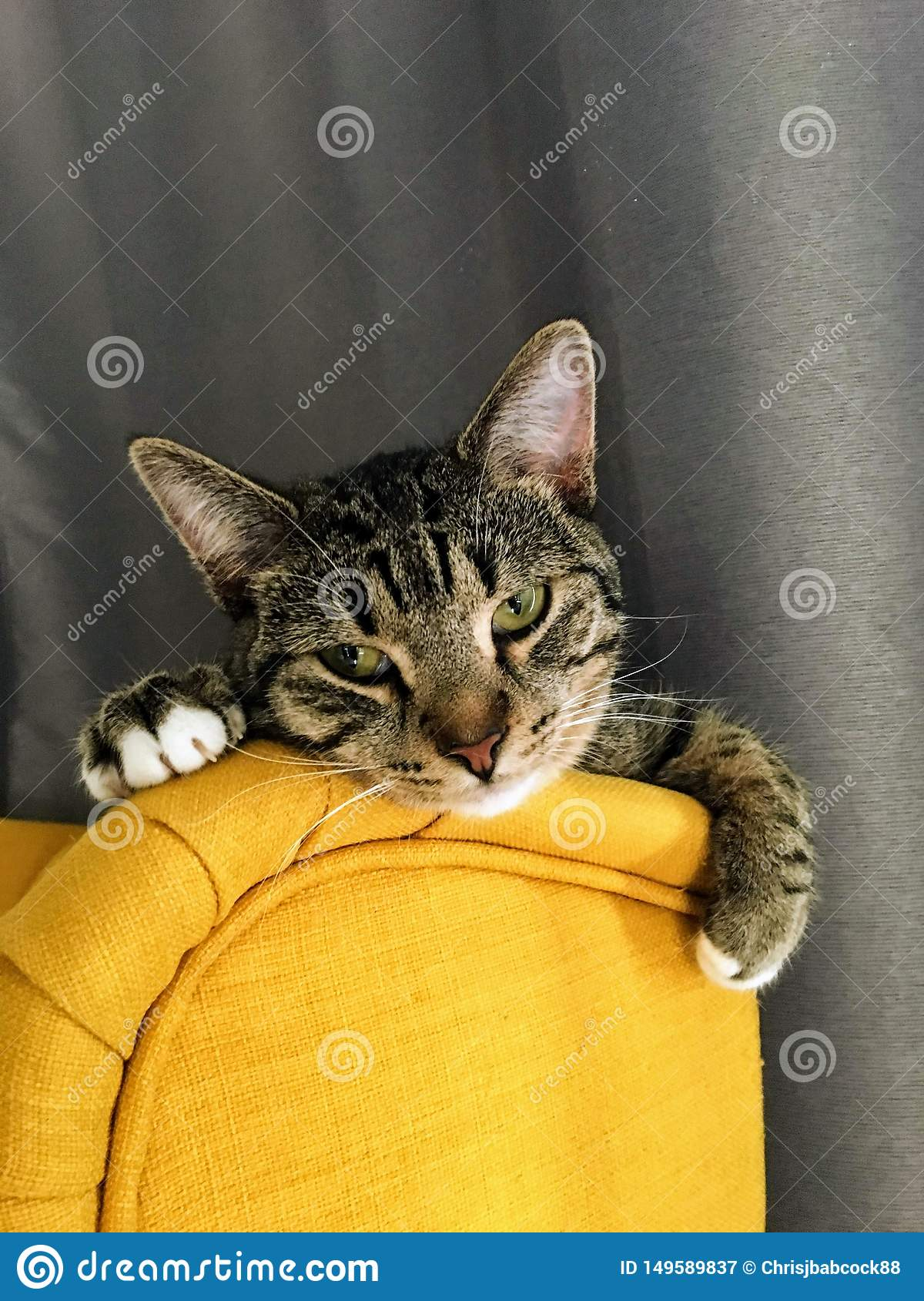 A tired older grey and brown striped kitten wearily resting her head on the top of a yellow chair with the curtains behind her.