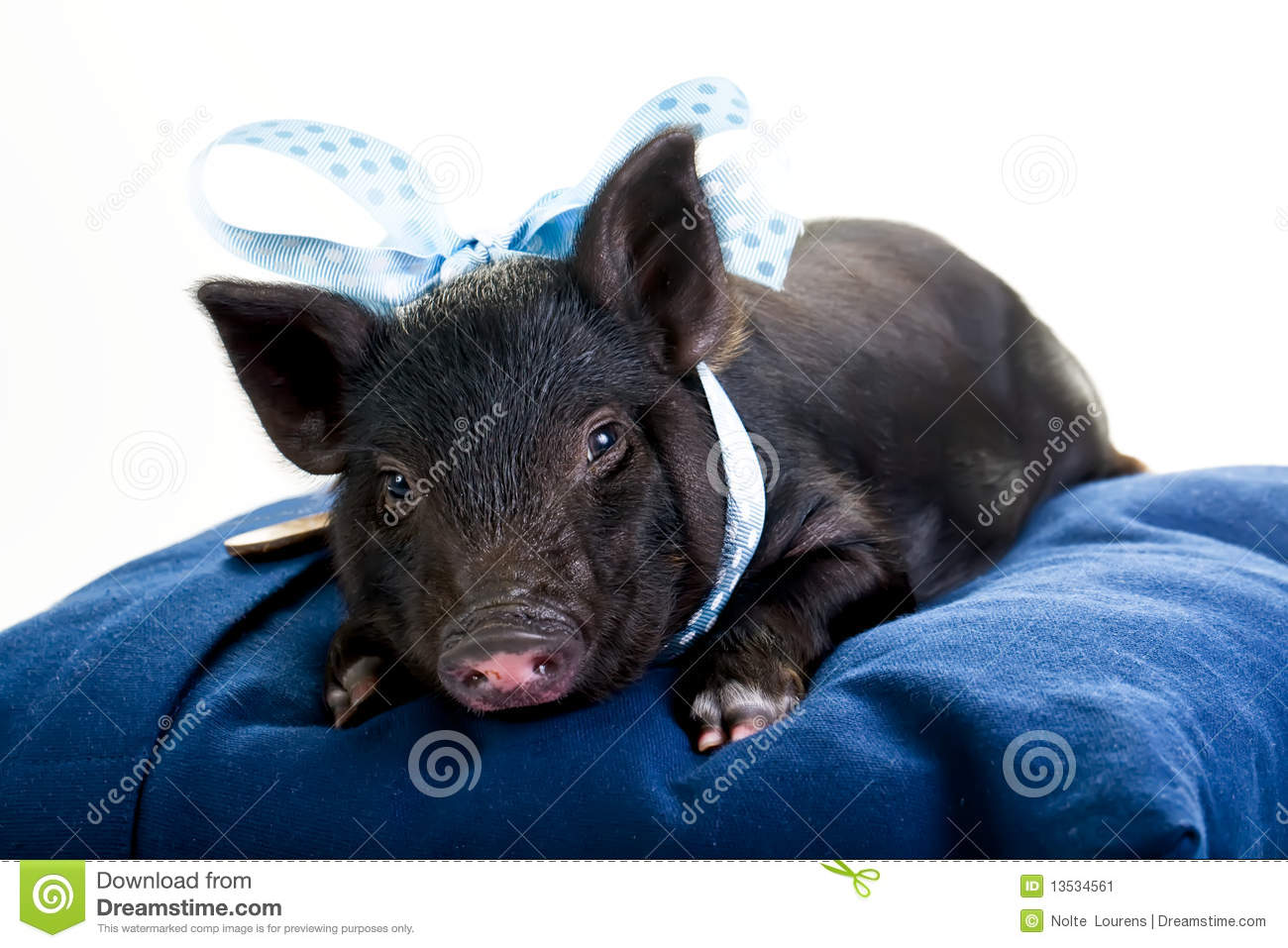 Tired Pig Lying Down Stock Image Image 13534561