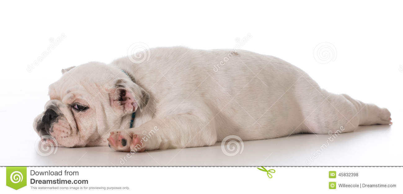 Tired english bulldog puppy laying down stretched out on white ...