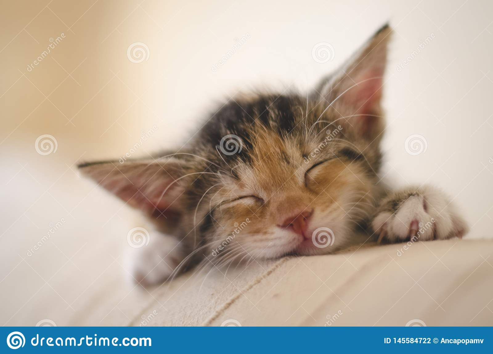 Tired rescued 6 weeks cute calico kitten sleeping and dreaming on the sofa