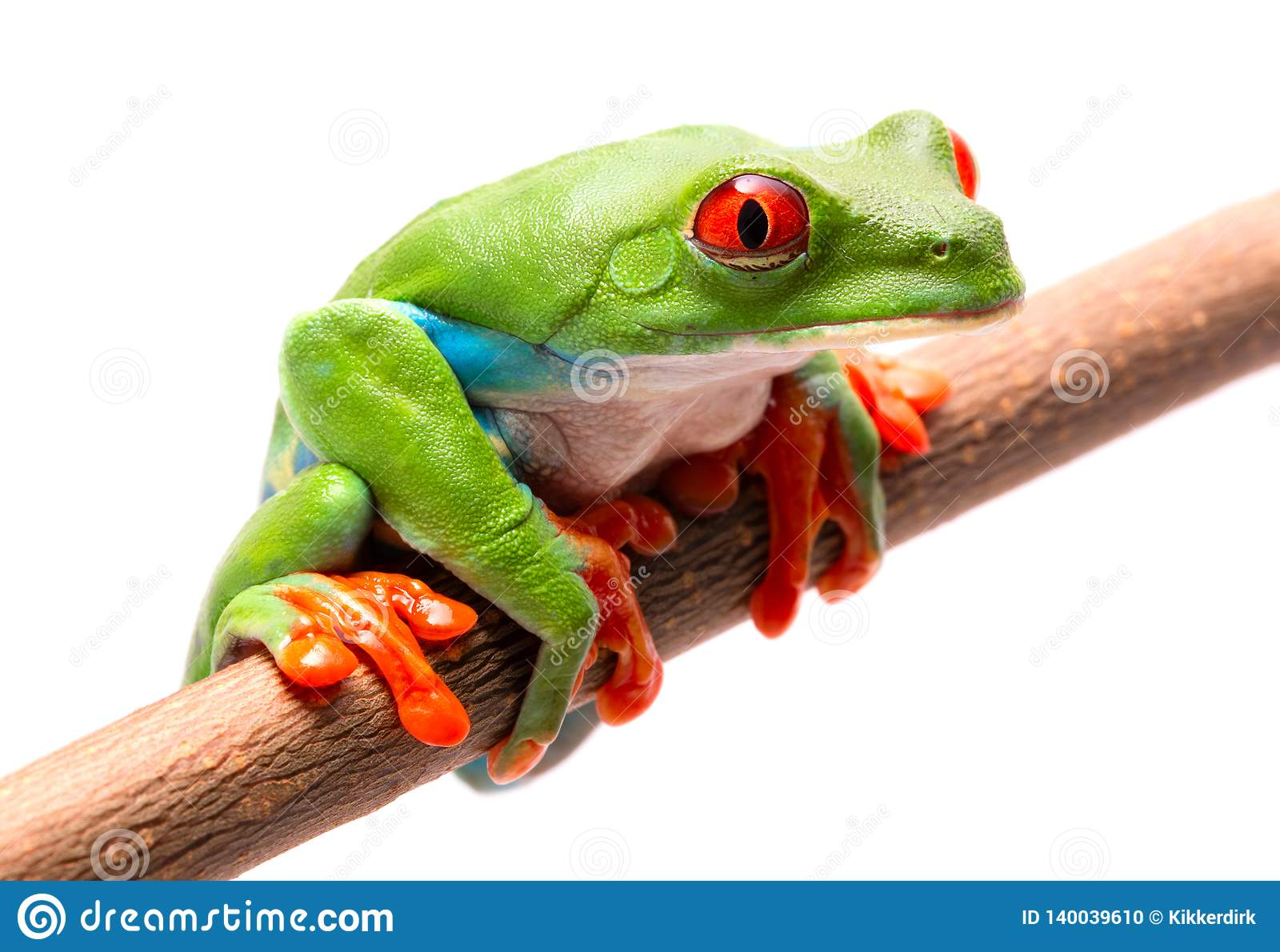 Tired, sad or sick red eyed tree frog