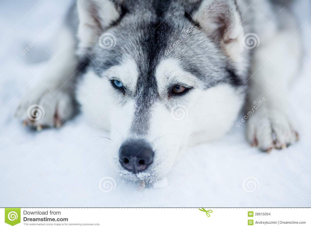 Tired Siberian Husky Sled Dog Closeup Stock Images Image