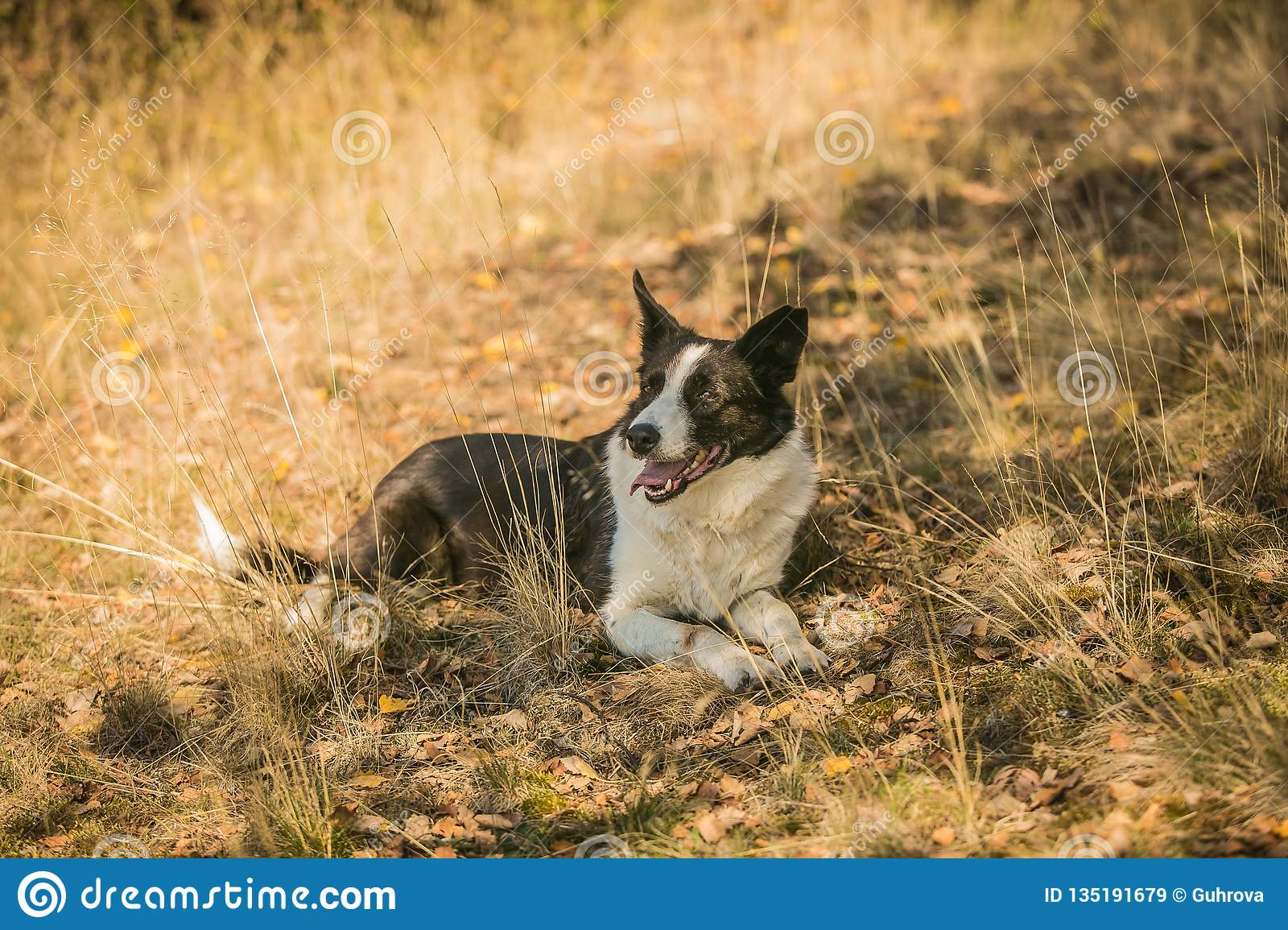252 Border Collie Dog Laying Down Photos Free Royalty Free Stock Photos From Dreamstime