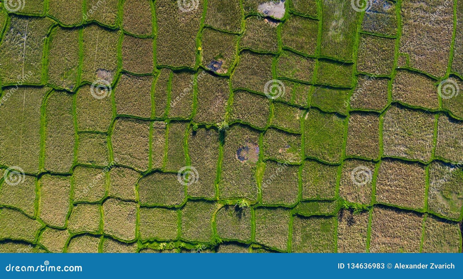 Tiro Aéreo De Las Terrazas Del Arroz Del Balinese Imagen De
