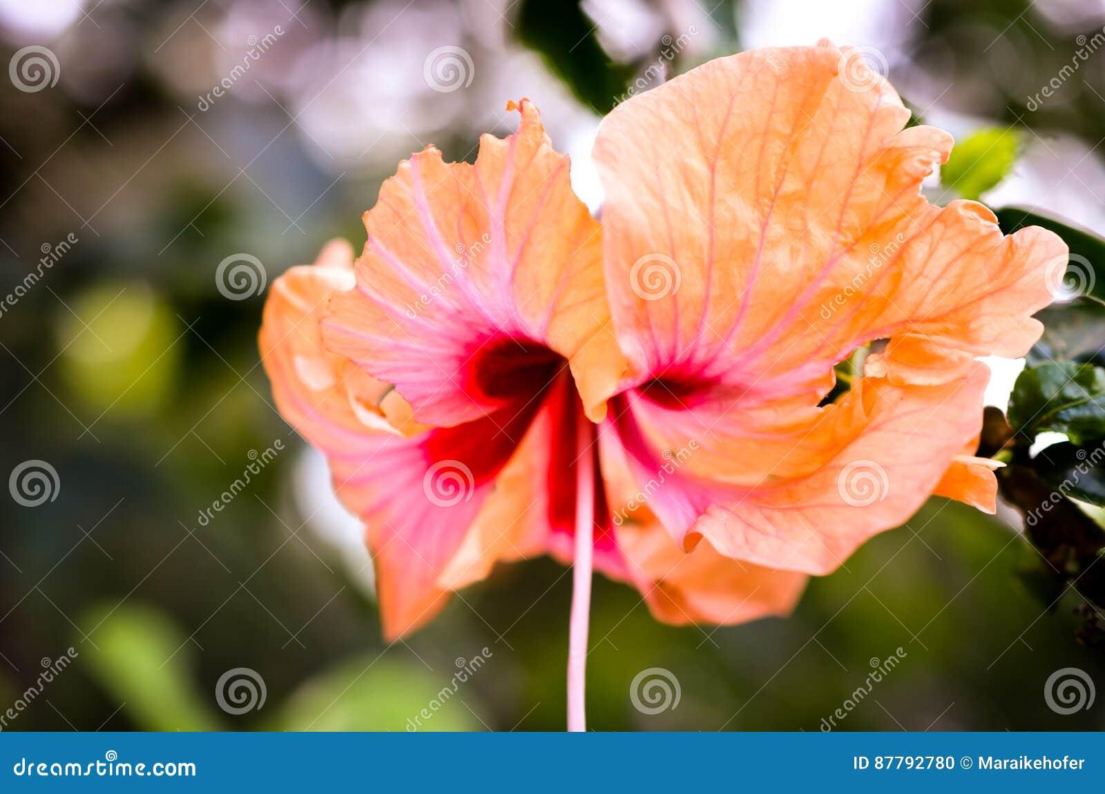 Tiro alaranjado do close up da flor da flor do hibiscus