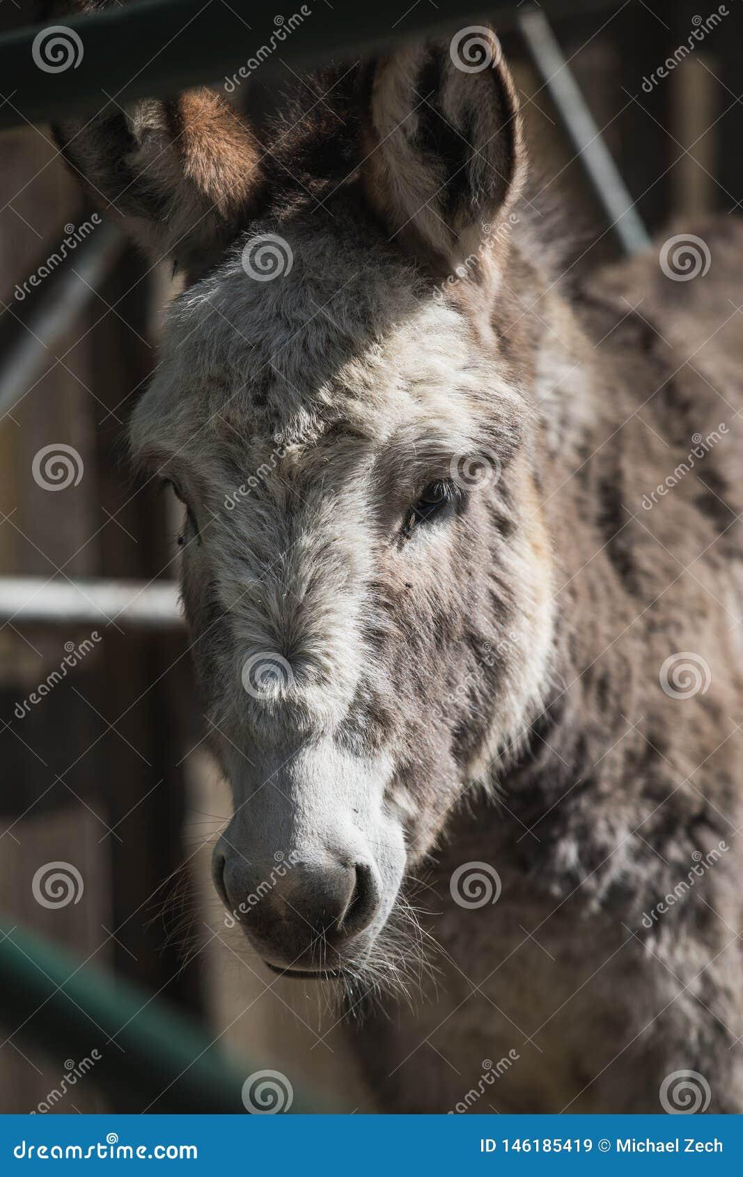 Tiro ascendente cercano de un burro gris que mira a la cámara