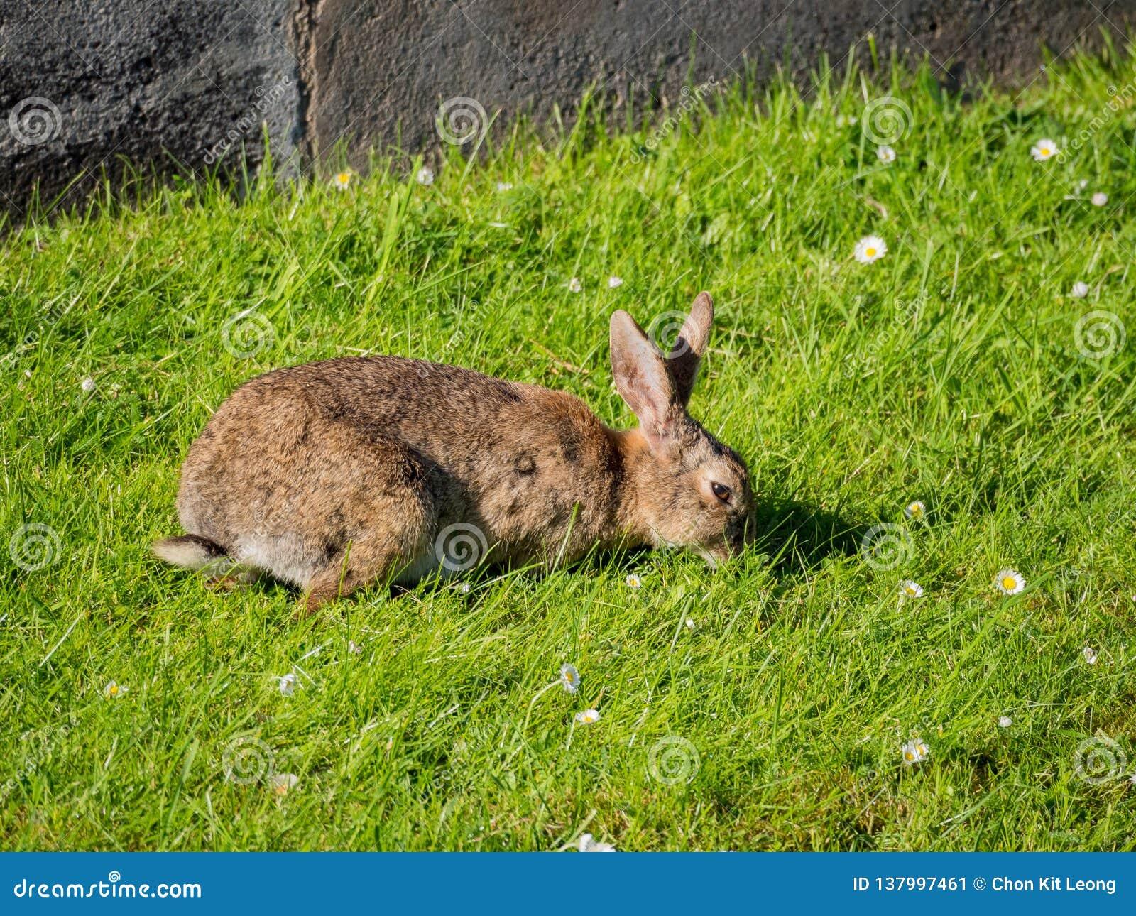 Tiro ascendente próximo de um coelho selvagem que come a grama no campo