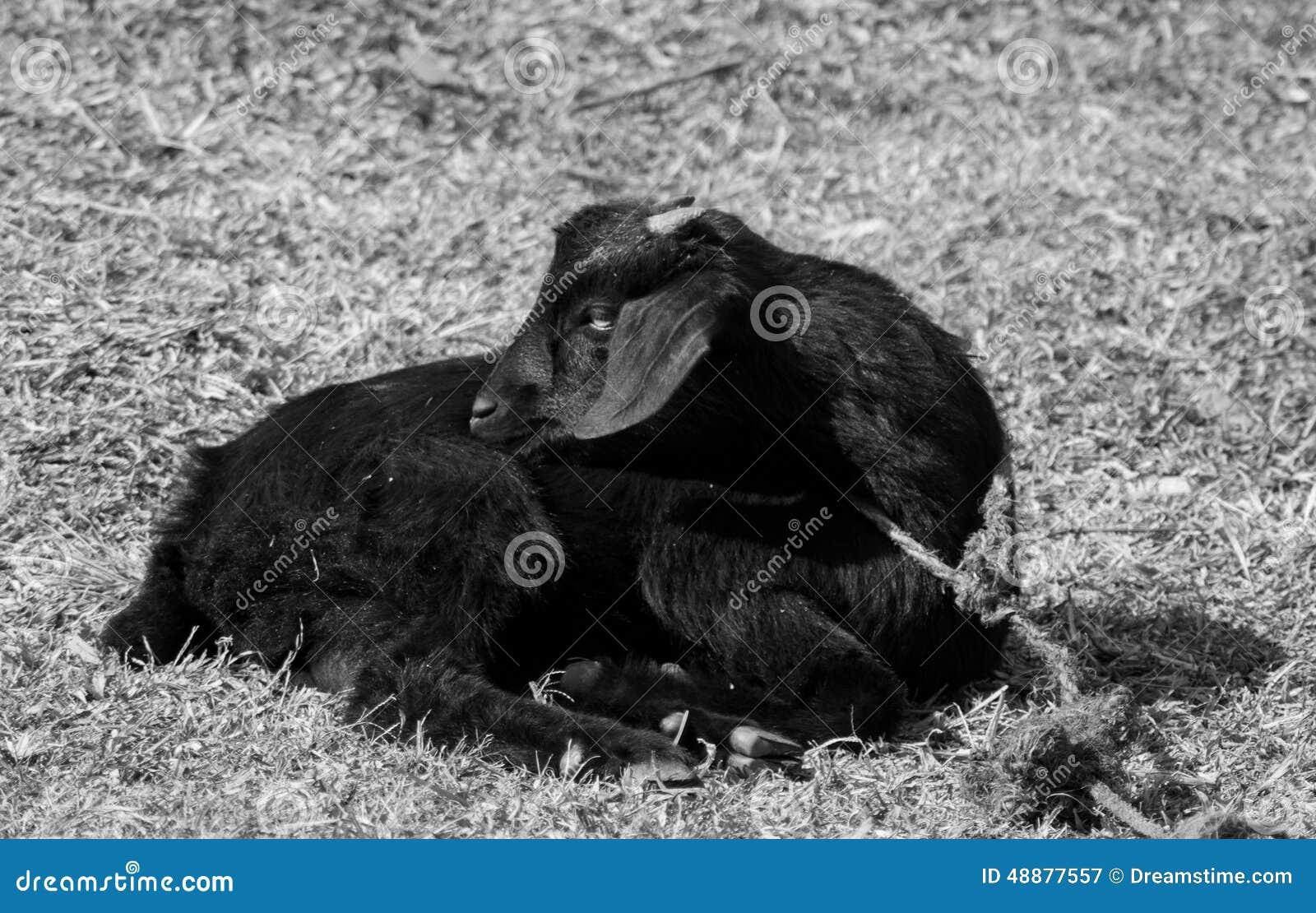Tiro blanco y negro de la cabra negra