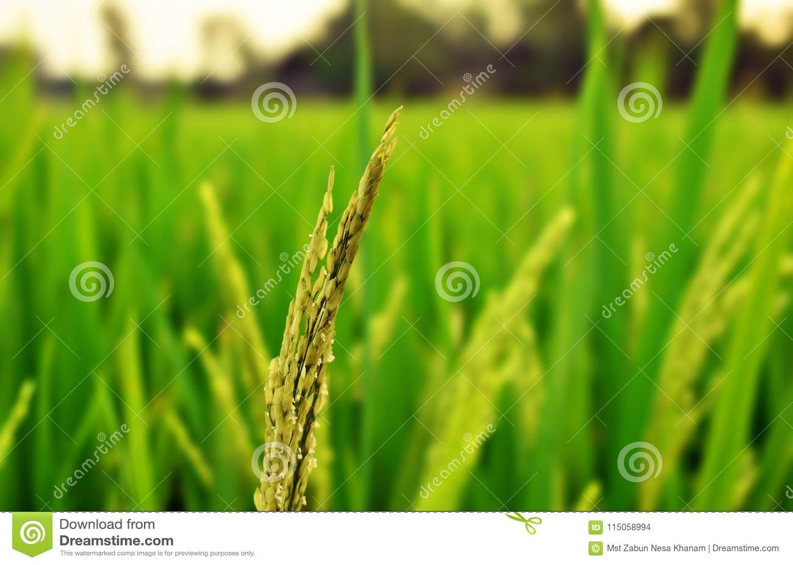 Tiro cercano del campo de arroz