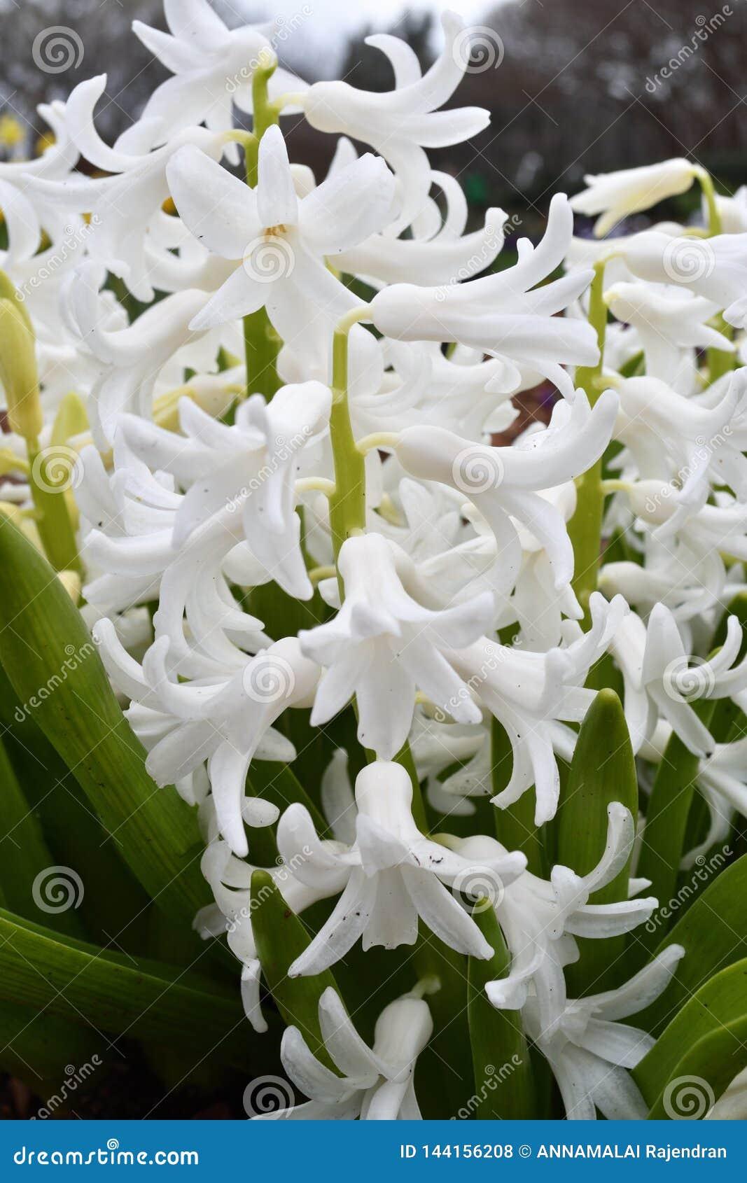 Tiro del primer de la flor blanca