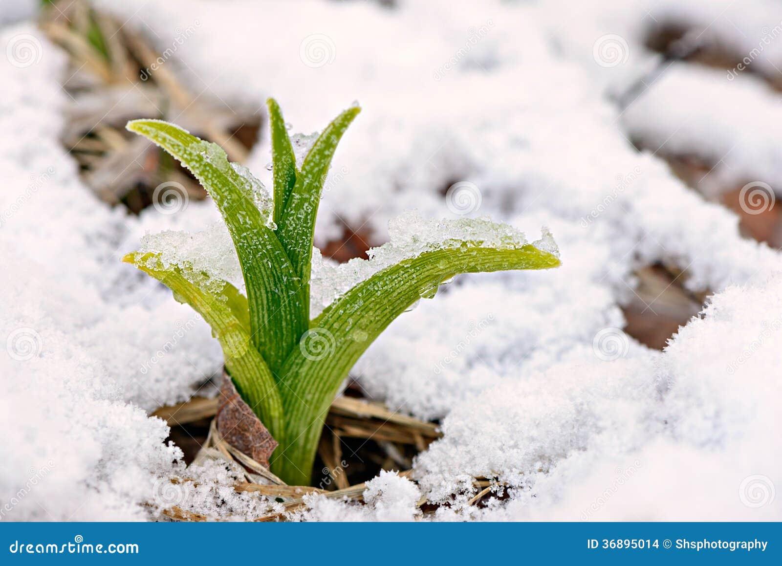 Download Tiro Dell'emerocallide Nella Neve Fotografia Stock - Immagine di nave, closeup: 36895014