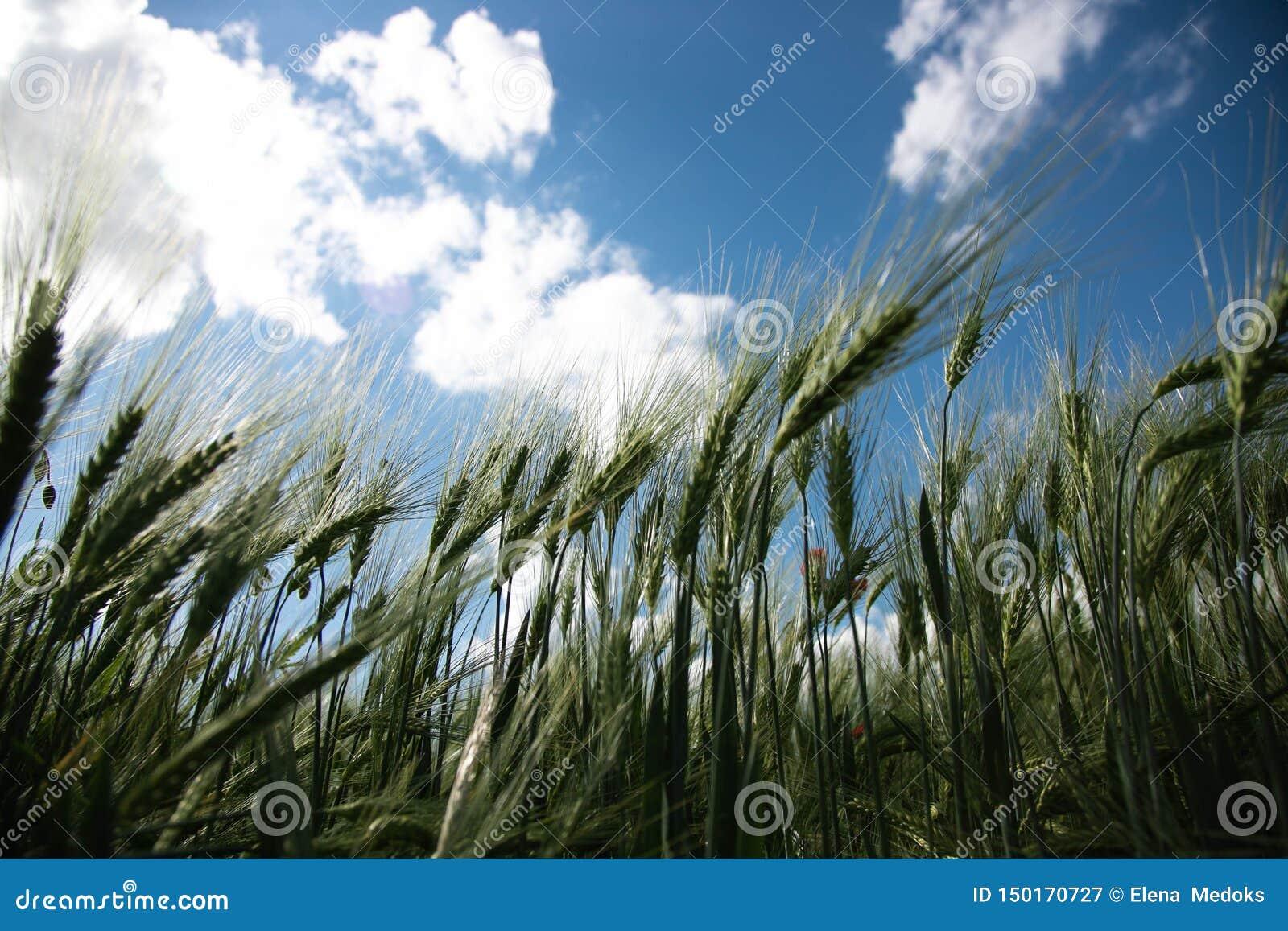 Tiro do campo de Rye de baixo de Spikelets do centeio contra o céu azul da mola com as nuvens brancas, luxúrias