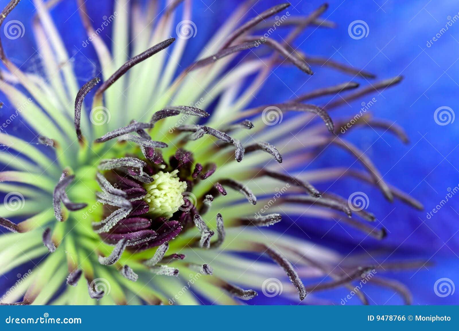 Tiro macro da flor de pasque ou do Pulsatilla, violeta