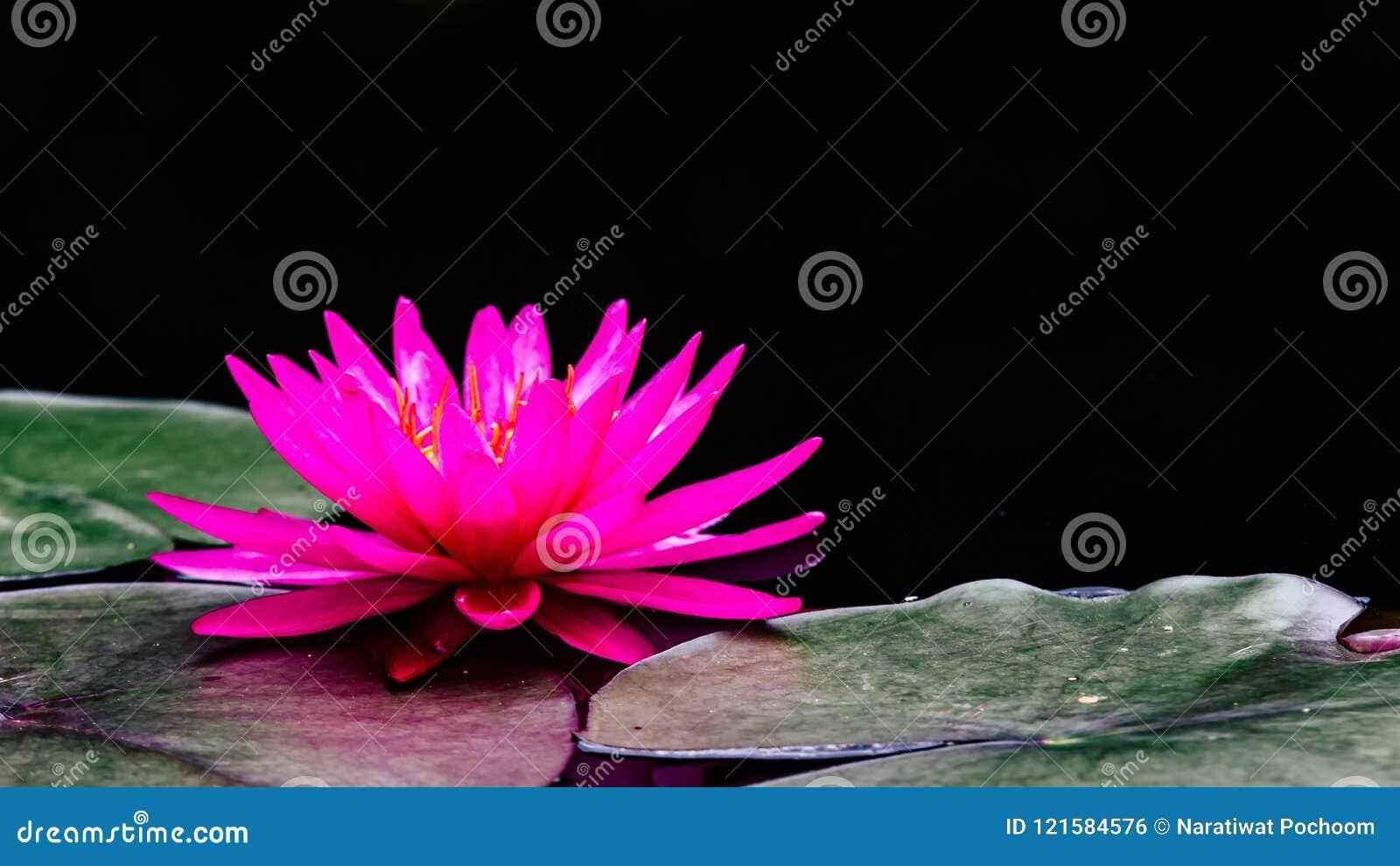 Tiro macro da foto na abelha que pulula na flor de lótus, flor de lótus roxa bonita com a folha verde na lagoa