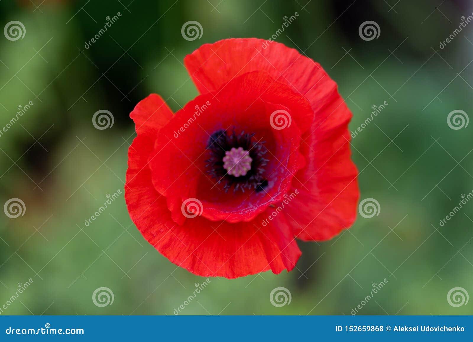 Tiro macro de flores rojas contra la perspectiva de la hierba en foco suave