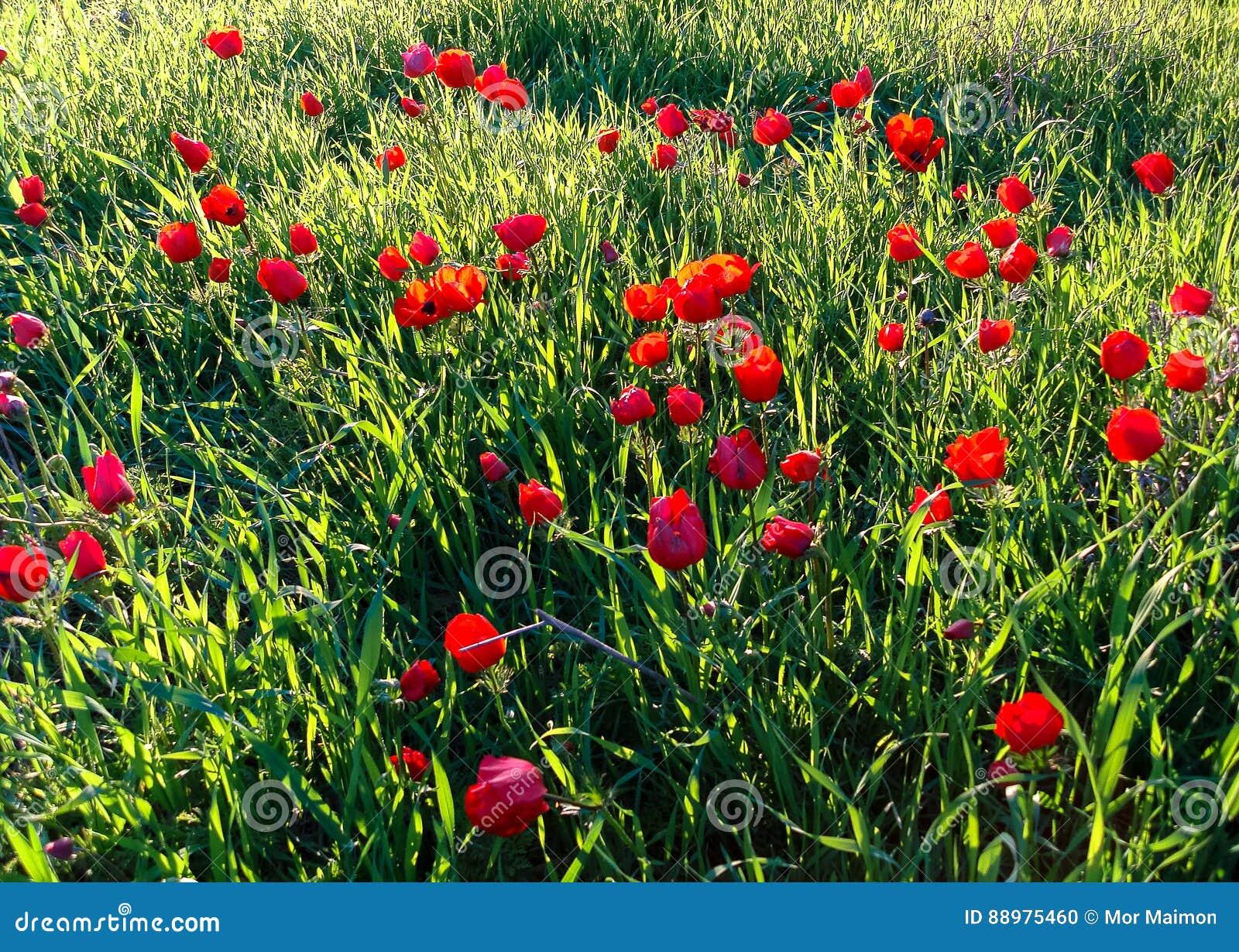 Tiro macro de florescência do inverno vermelho do campo das anêmonas na grama verde Fie