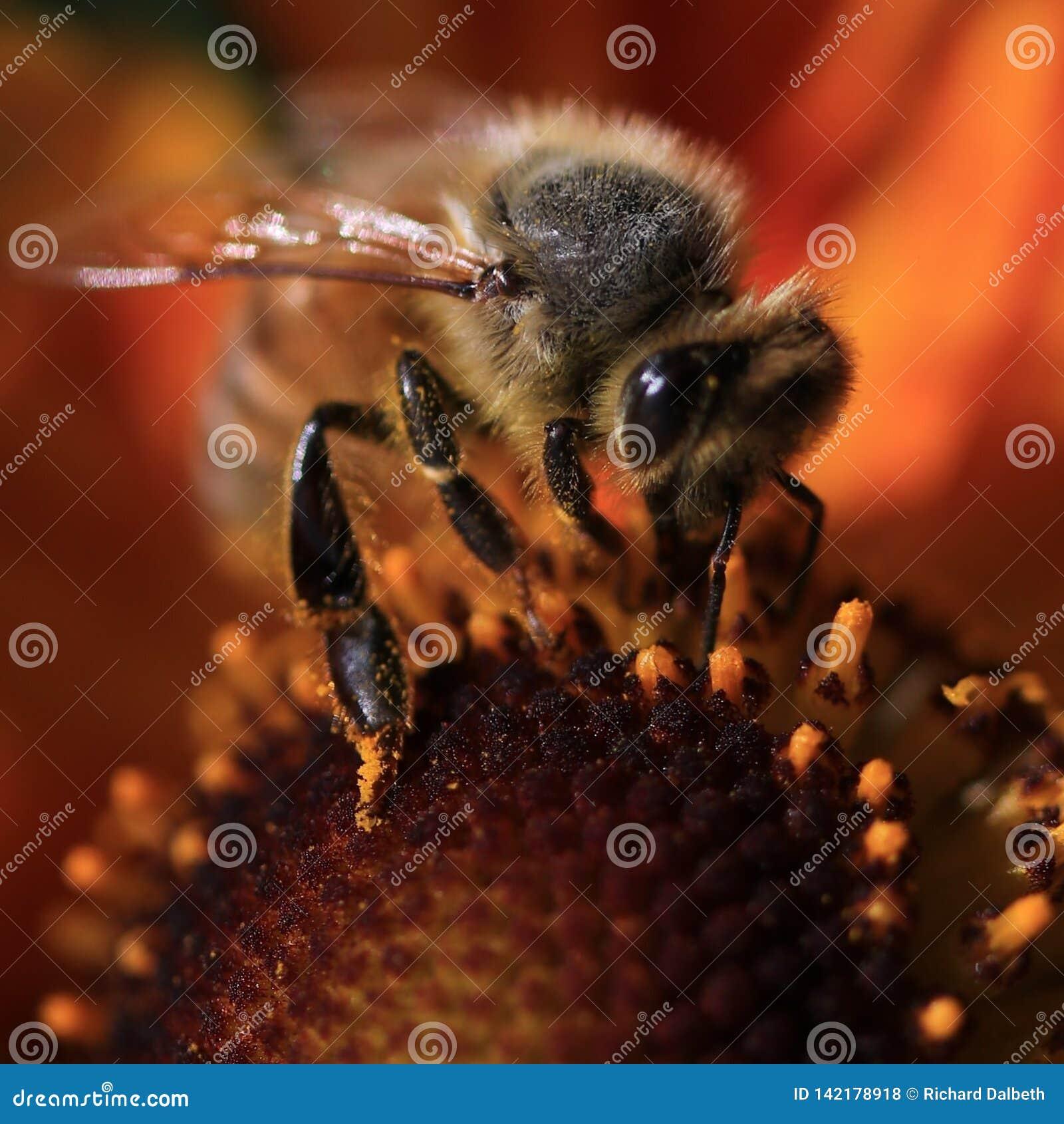 Tiro macro de la abeja