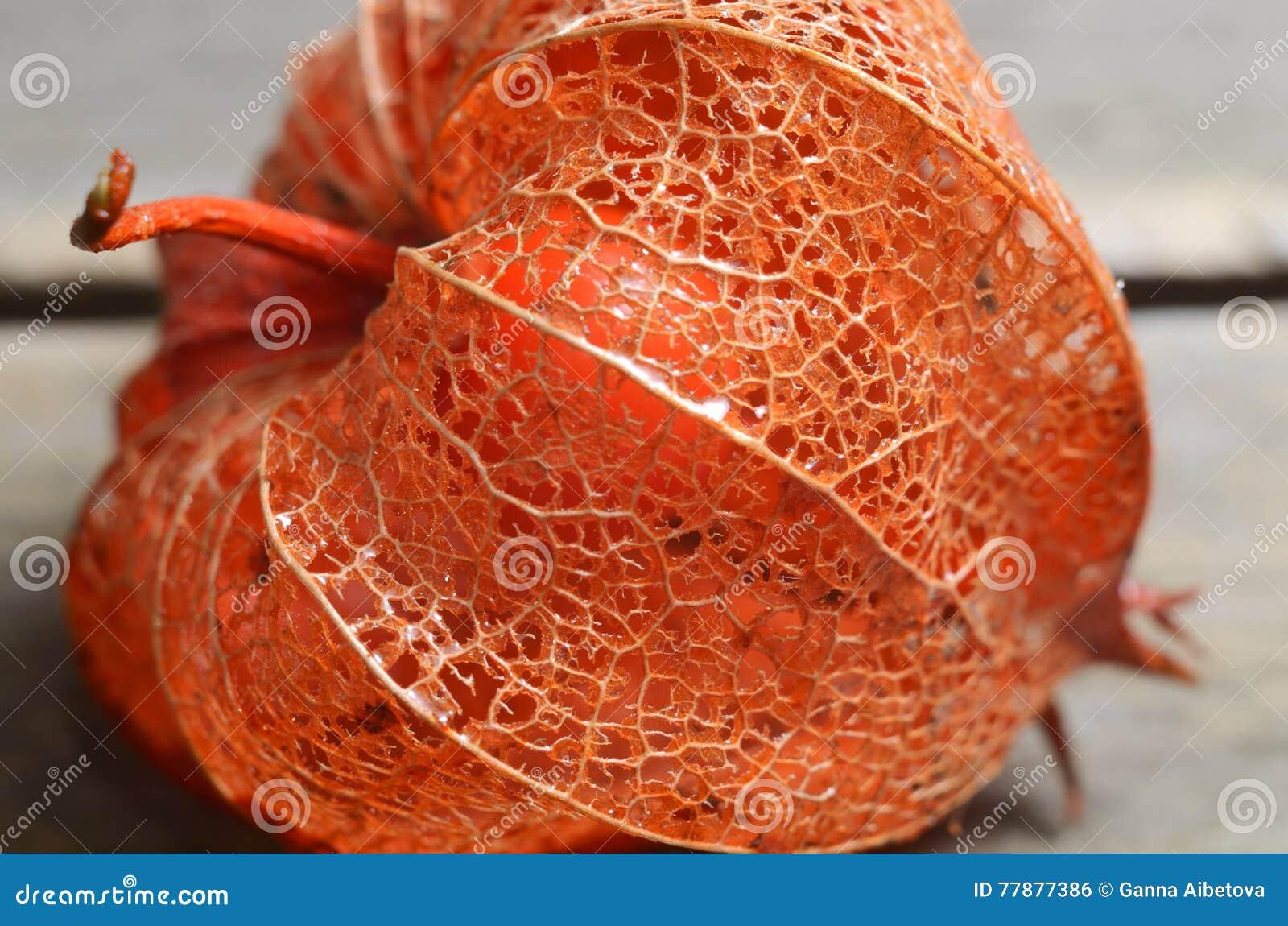 Tiro Macro De La Grosella Espinosa De Cabo O Del Physalis Seca Textura De Las Hojas De La Flor Del Otoño Contexto Estacional Foto de archivo