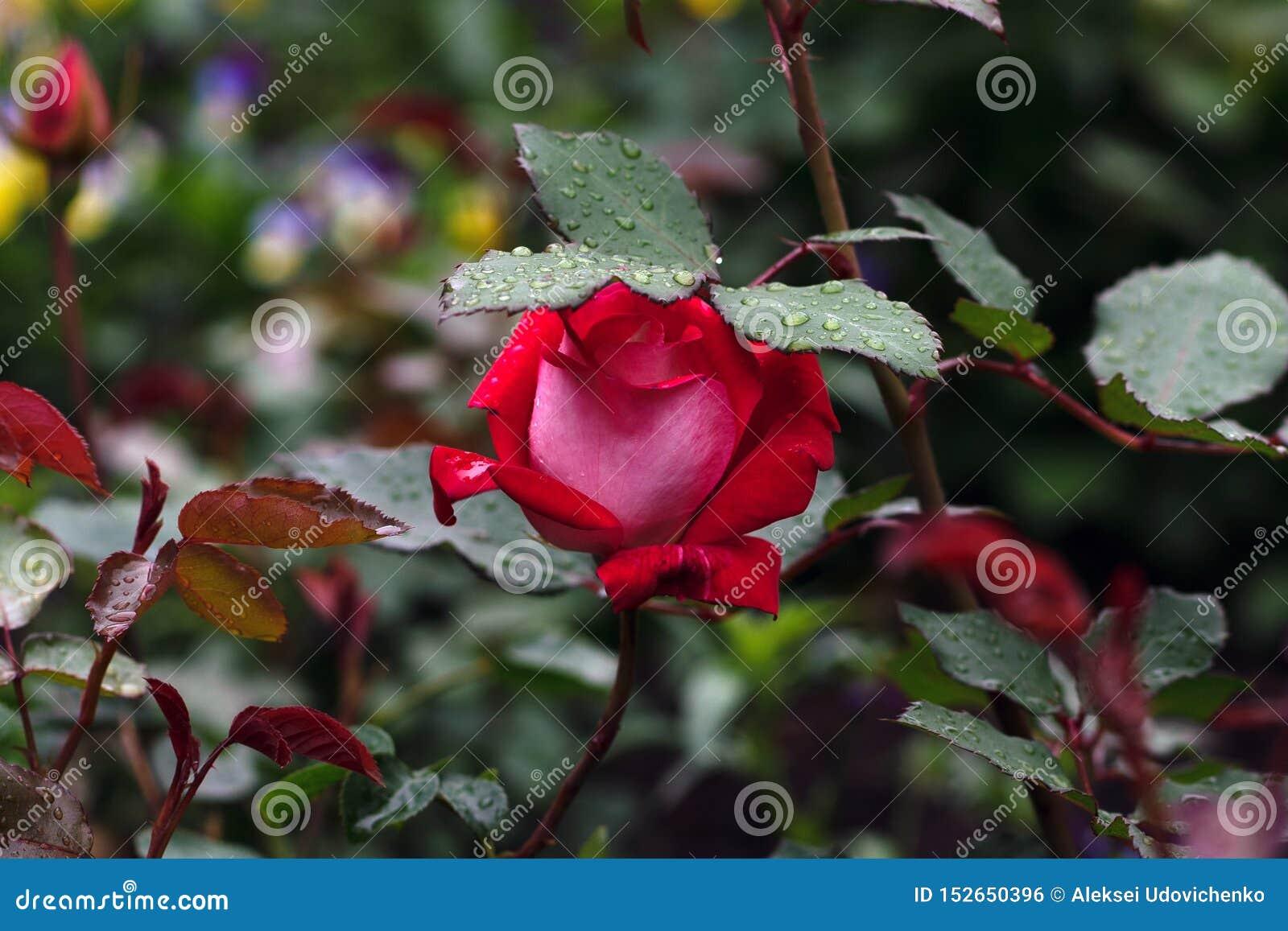 Tiro macro de la rosa roja en foco suave